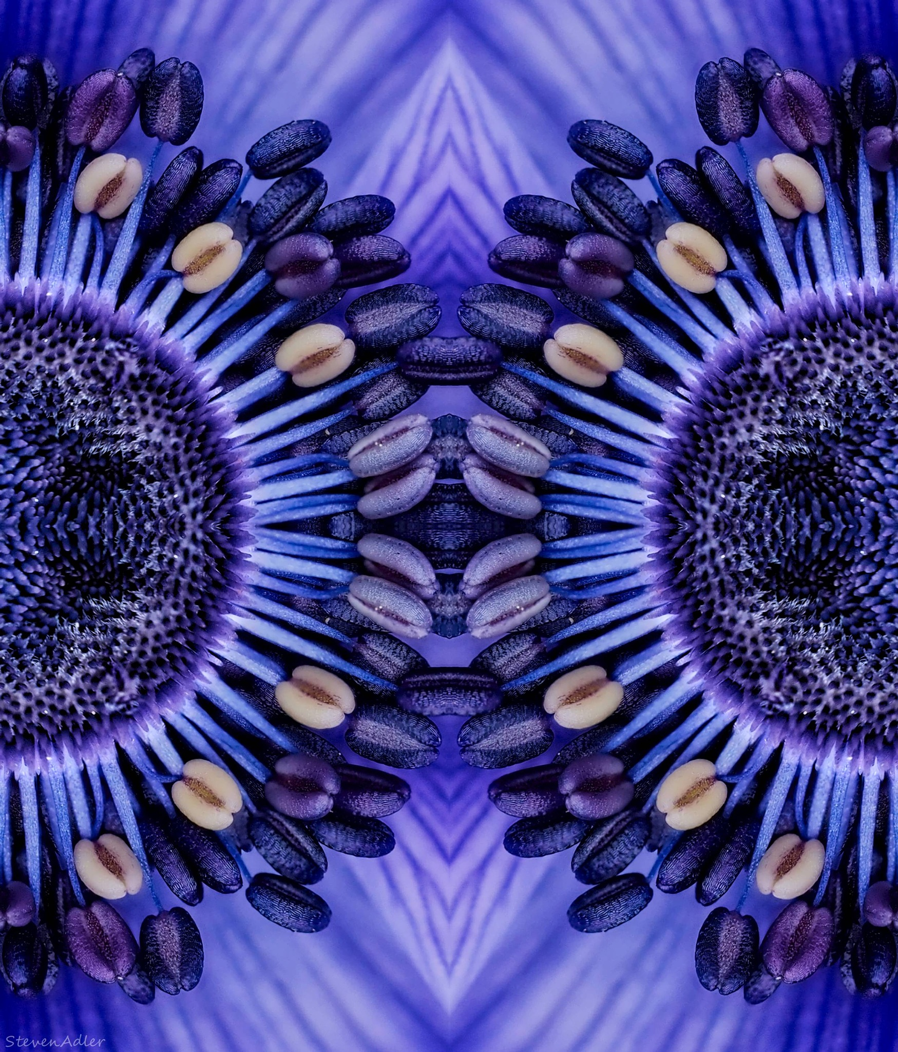 Photo in Abstract #anemone #flowers #two #mirror #reflection #abstract #purple #macro