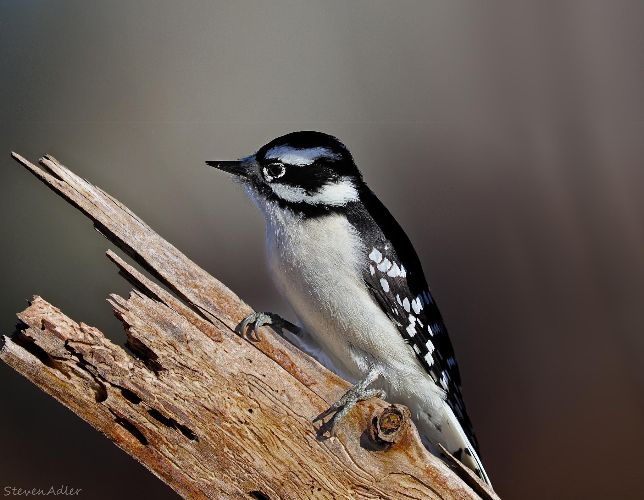 Spotted Woodpecker by Steven Adler