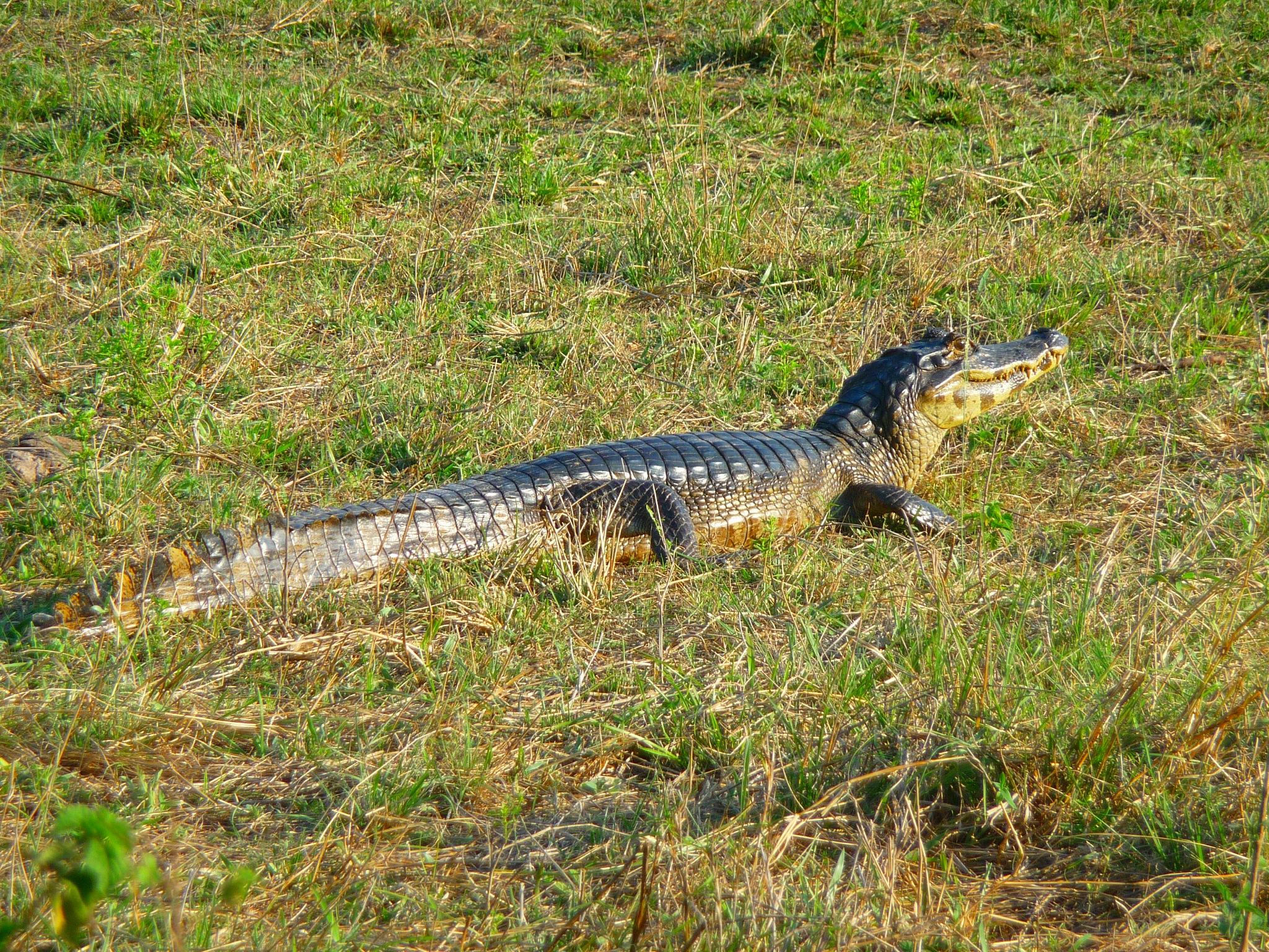 Alligator by Carlos Bouso