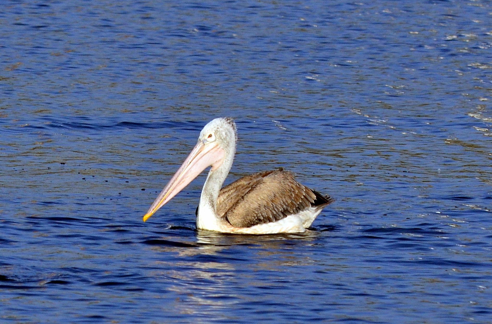 Pelican Brief... by sriramshankars