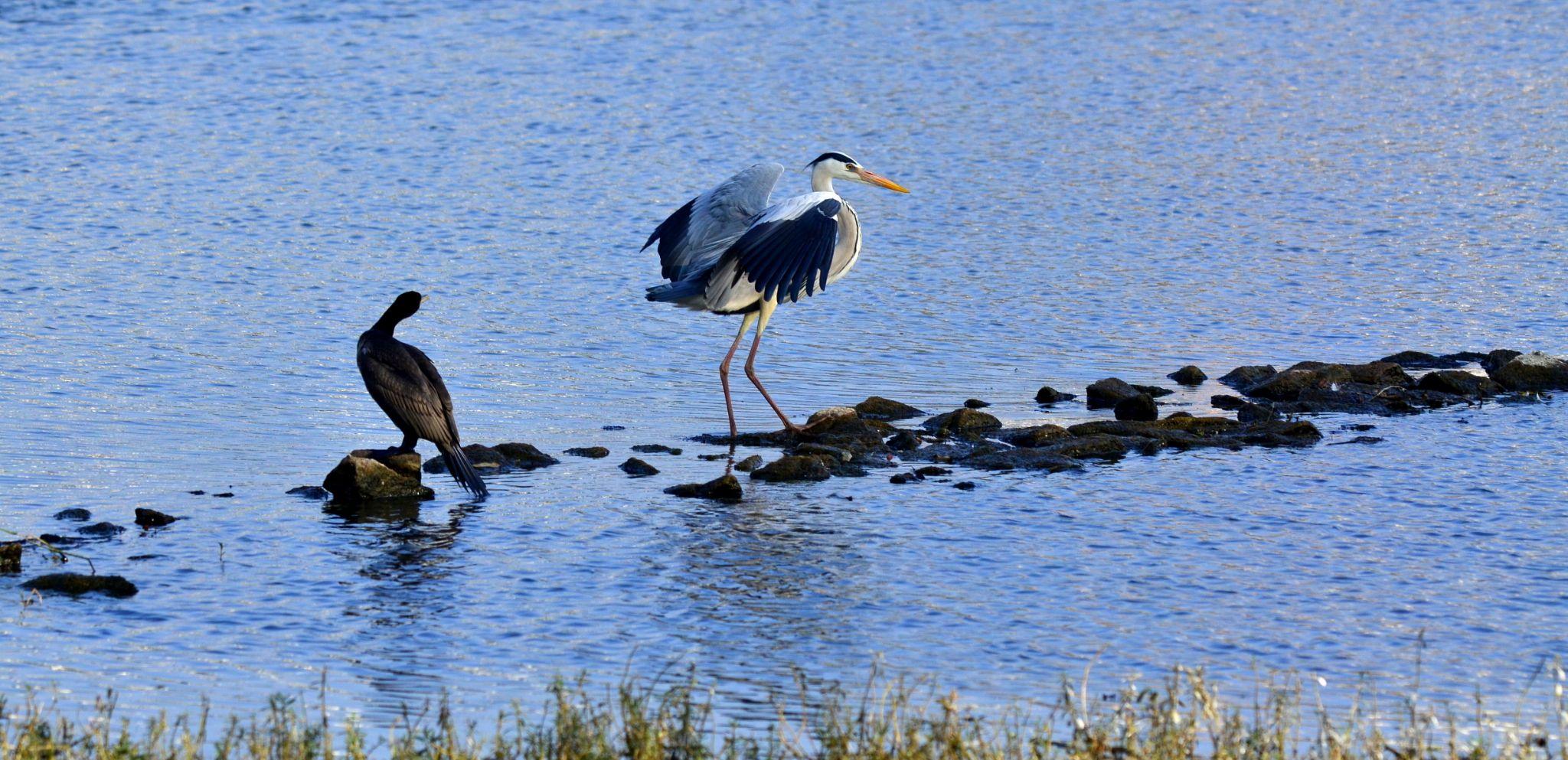 Cormorant admiring the majestic beauty of Grey Heron... by sriramshankars