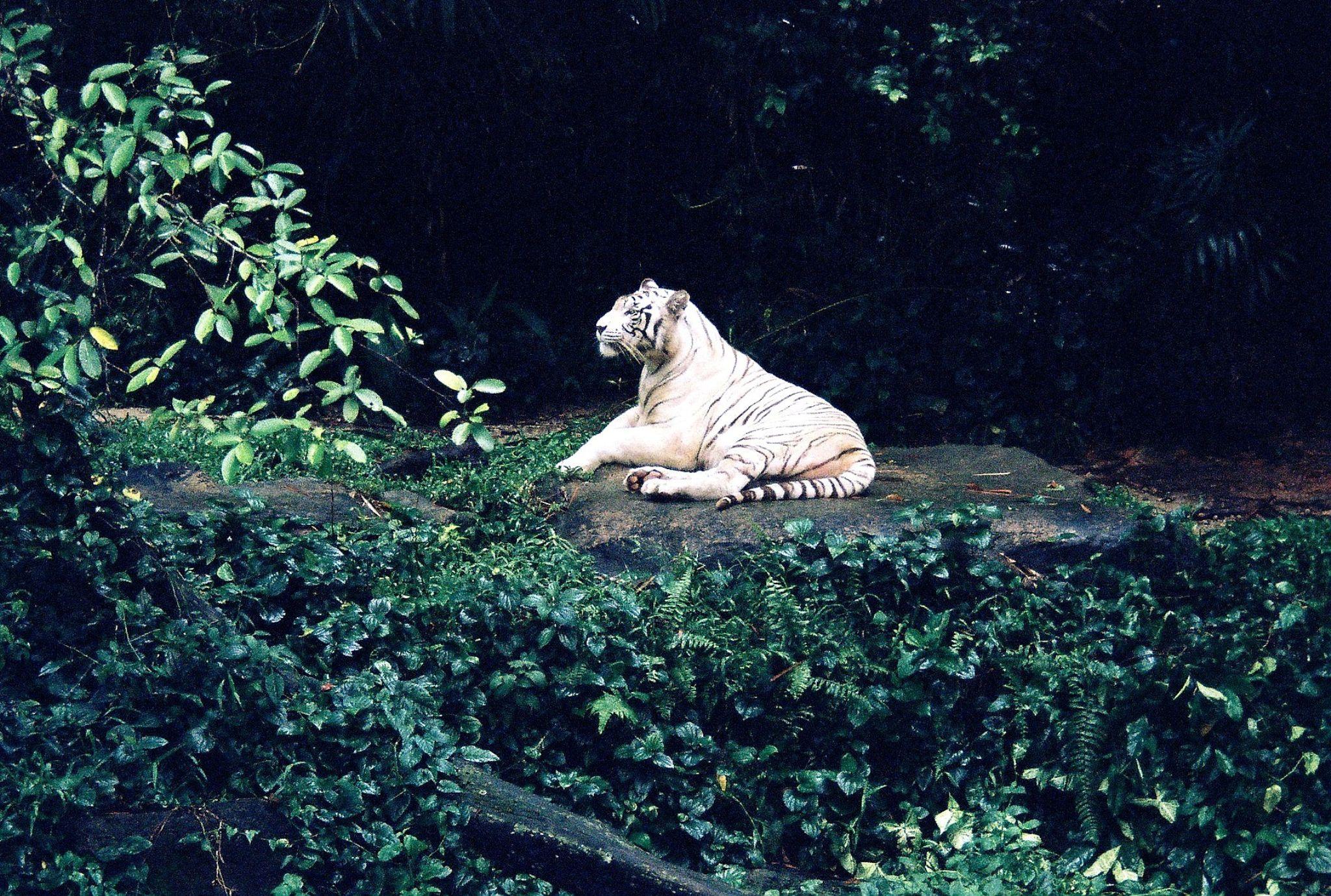 White Tiger Relaxing... by sriramshankars