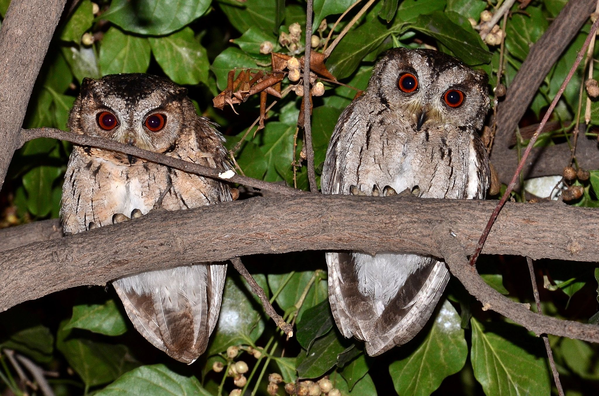 Owlets... by sriramshankars