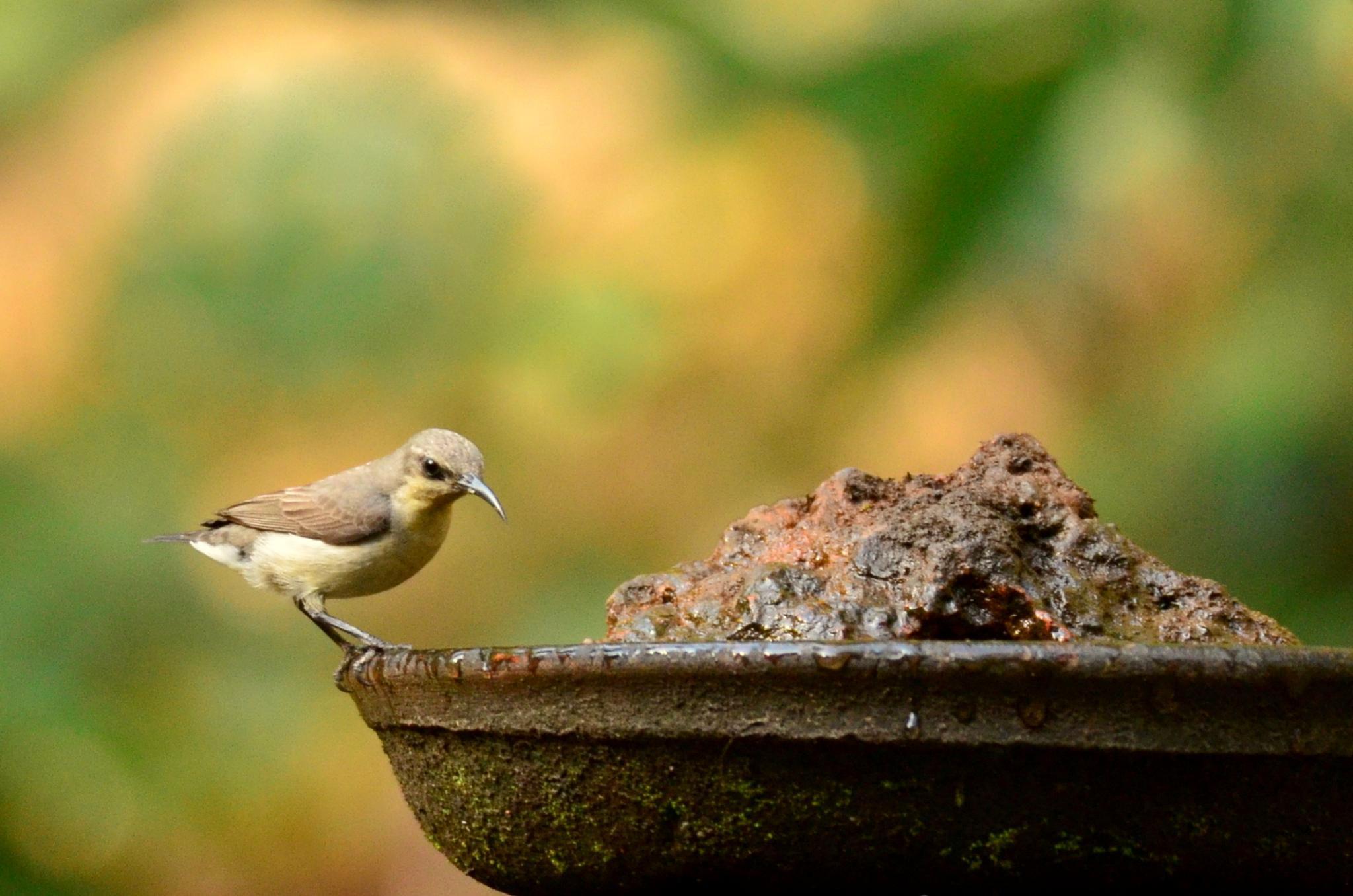 Sunbird at the bathtub... by sriramshankars