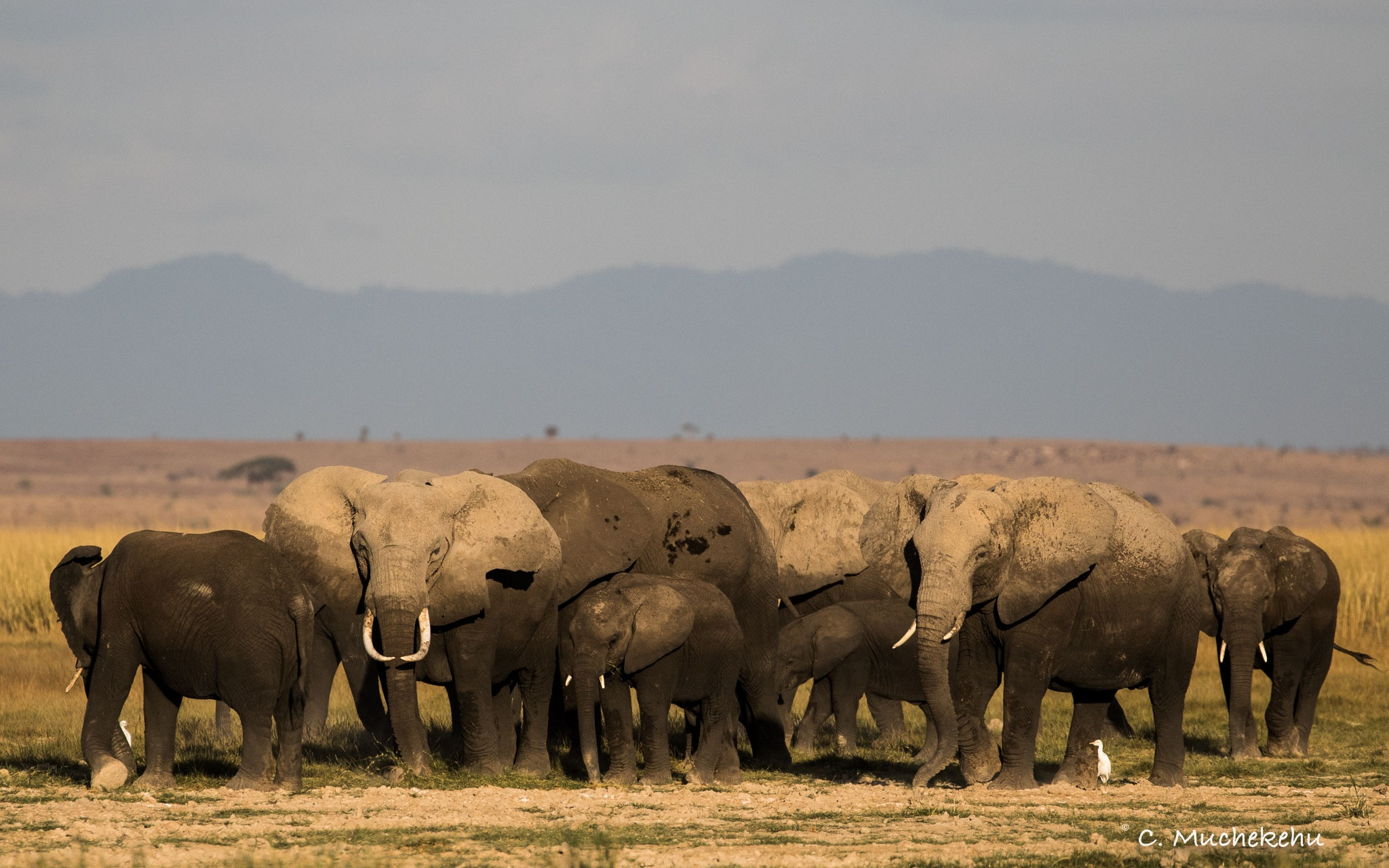 Elephant Herd by Caroline