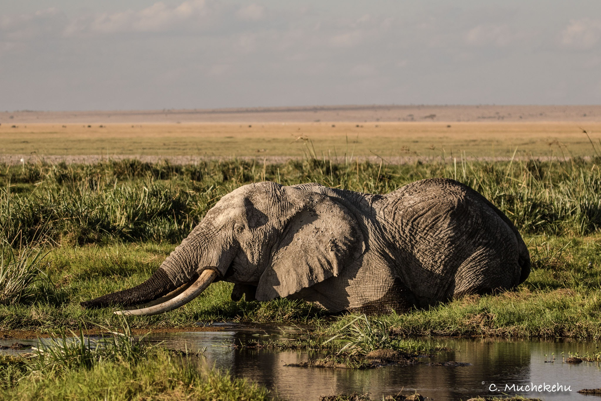 Elephant bull wading by Caroline