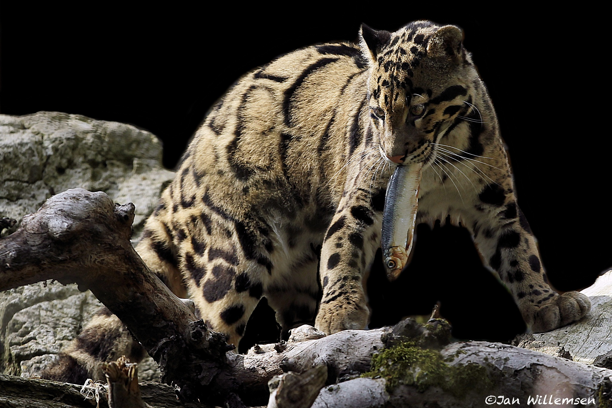 Clouded Leopard by Jan Willemsen Fotografie