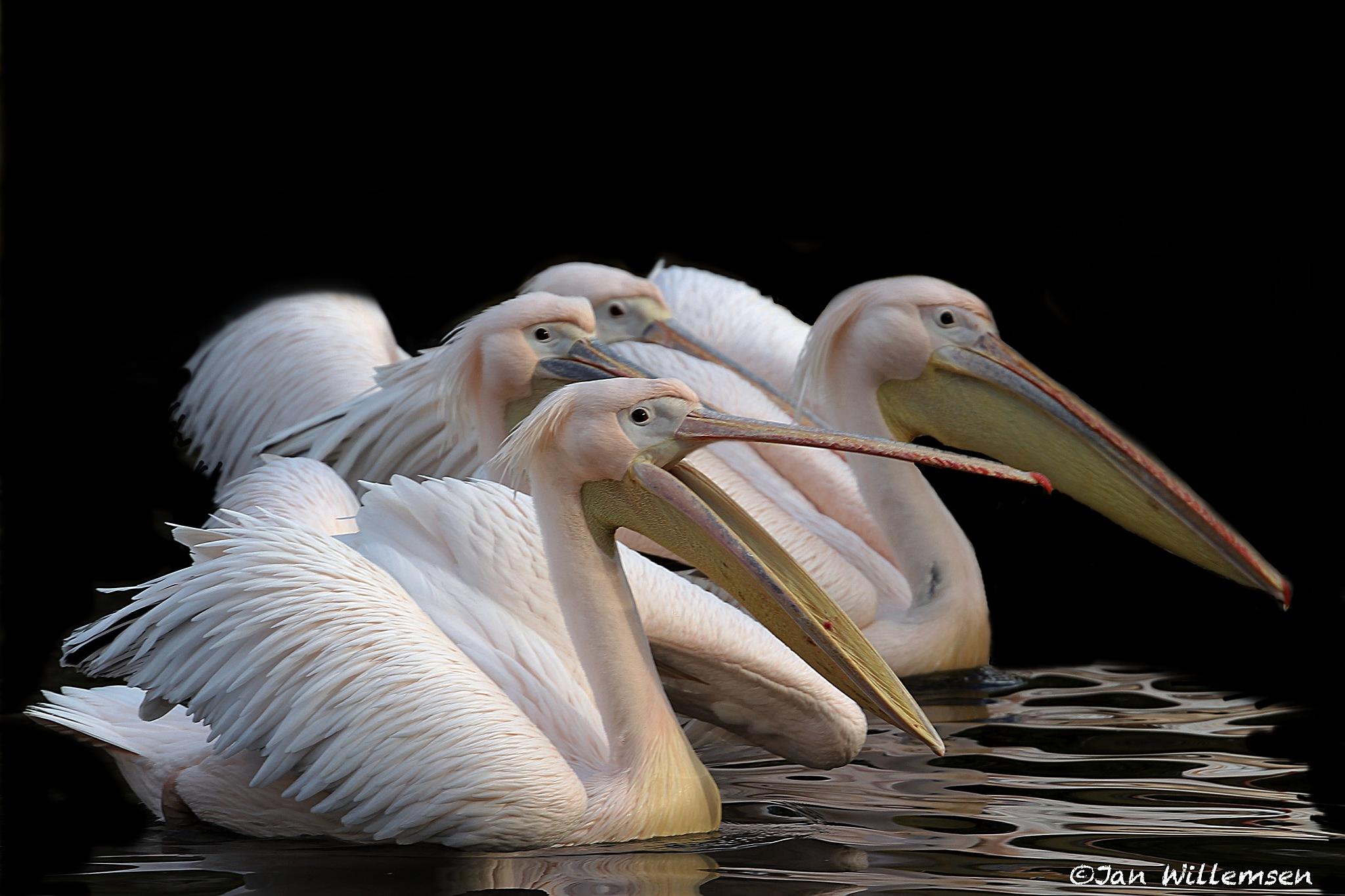 Pelican by Jan Willemsen Fotografie