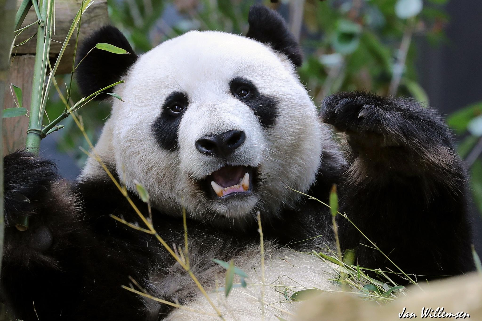 Giant Panda by Jan Willemsen Fotografie
