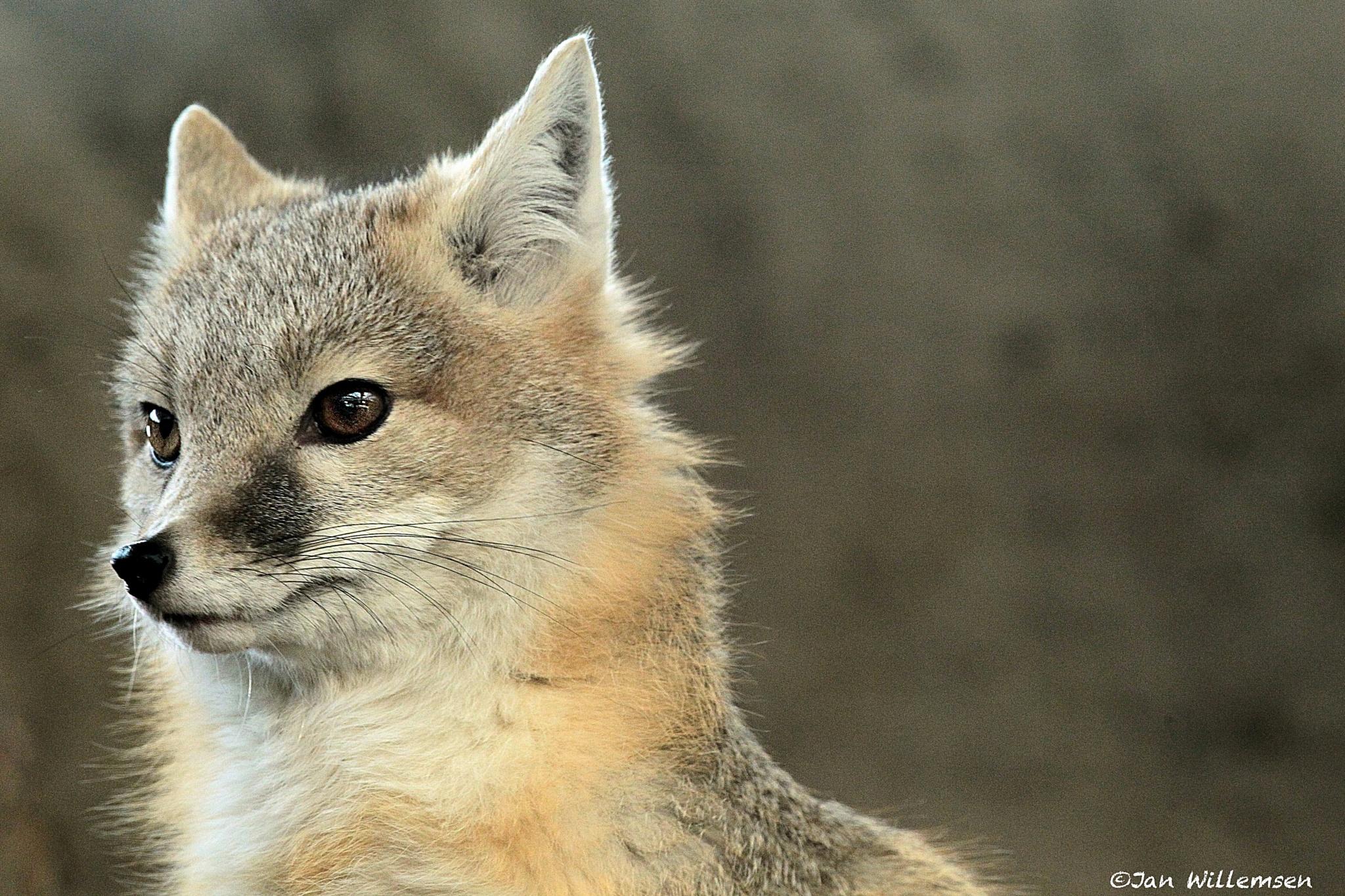Swift Fox by Jan Willemsen Fotografie