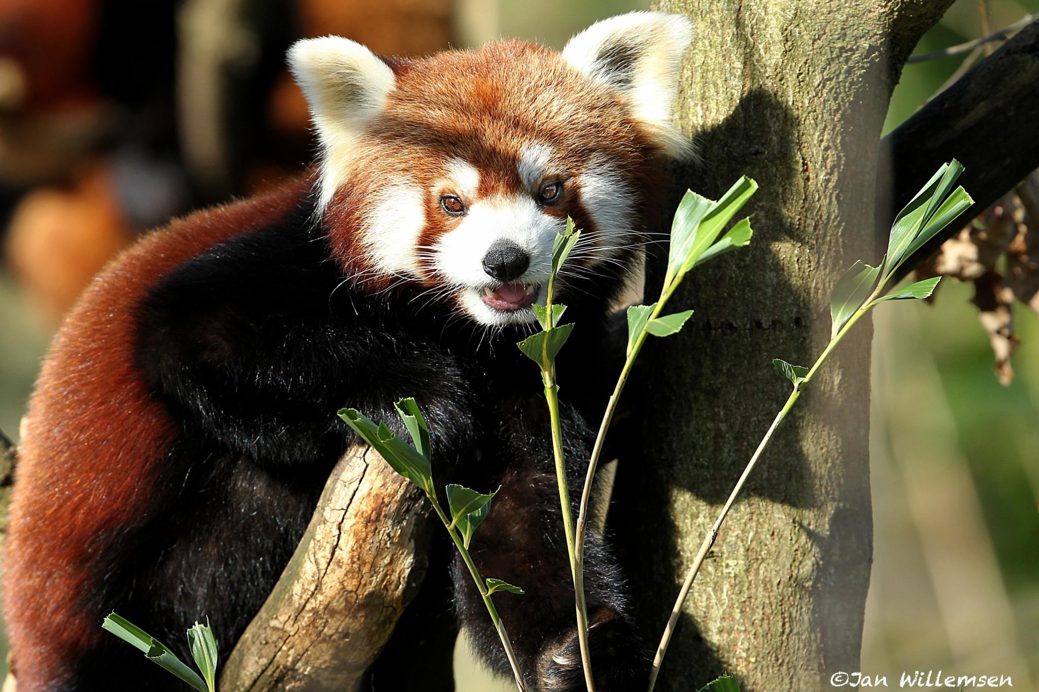Red Panda by Jan Willemsen Fotografie