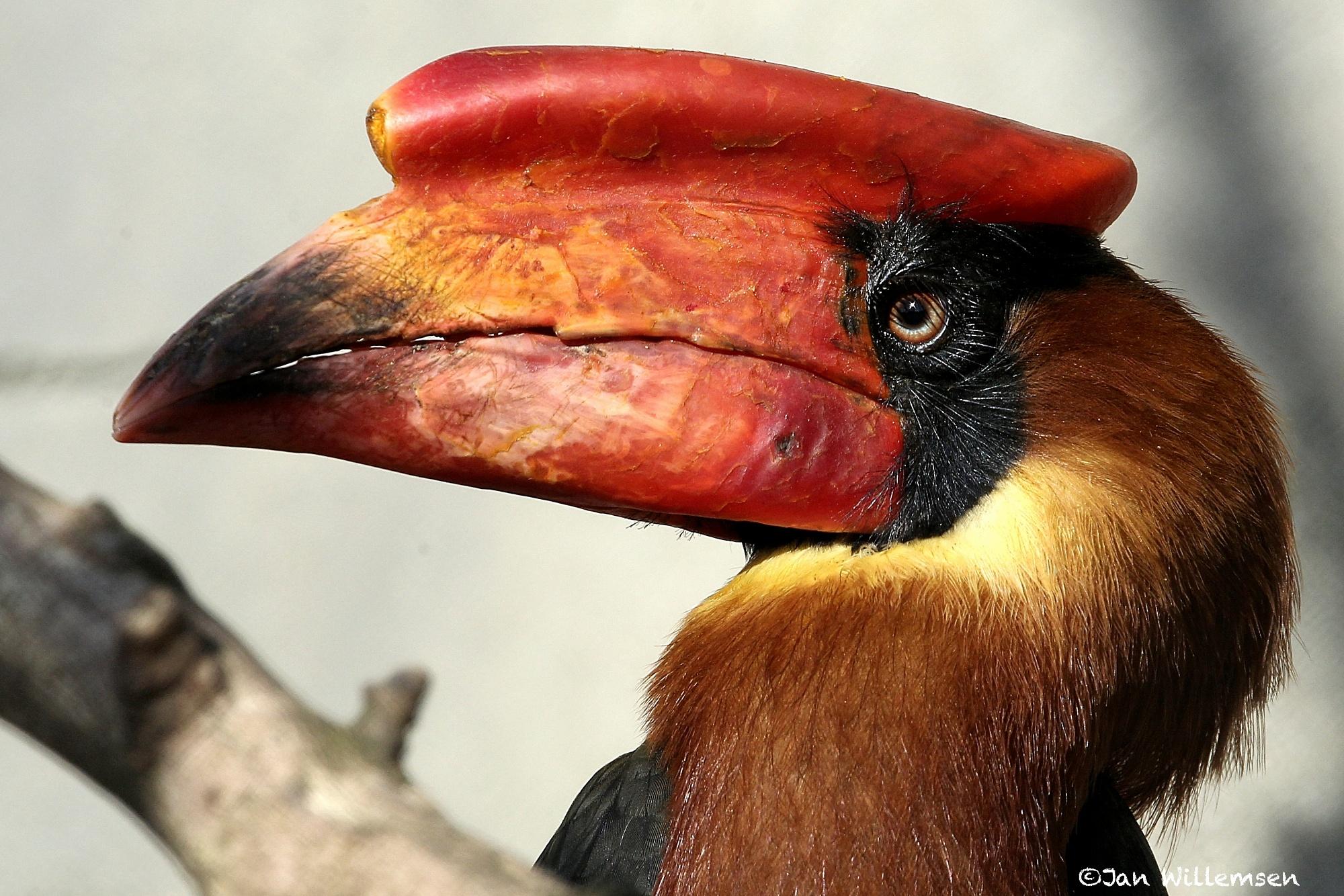 Northern Rufous Hornbill by Jan Willemsen Fotografie