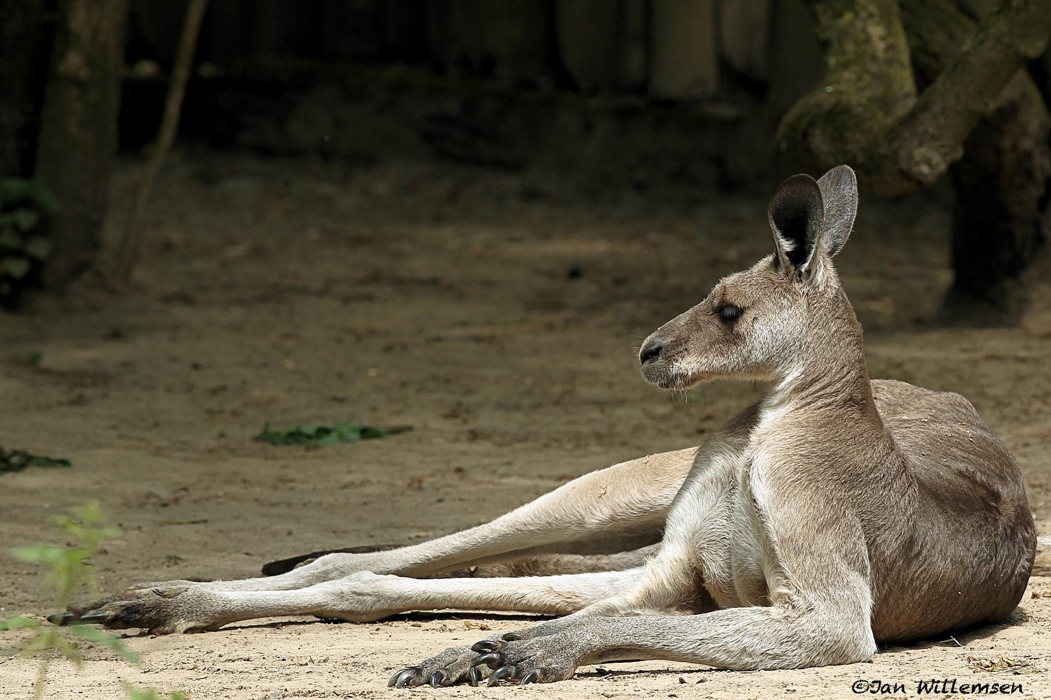 Eastern Grey Kangaroo by Jan Willemsen Fotografie