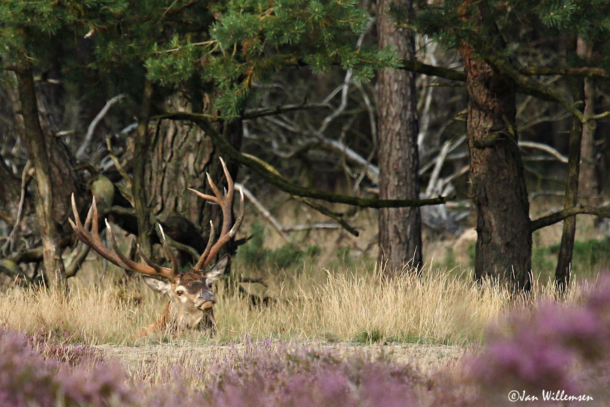 Red Deer by Jan Willemsen Fotografie