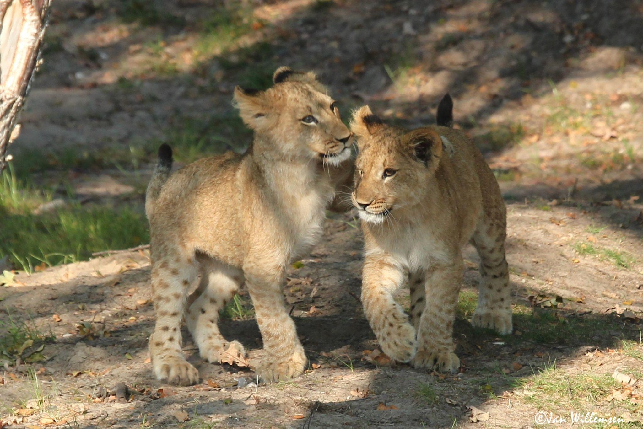 Afr. Lion by Jan Willemsen Fotografie