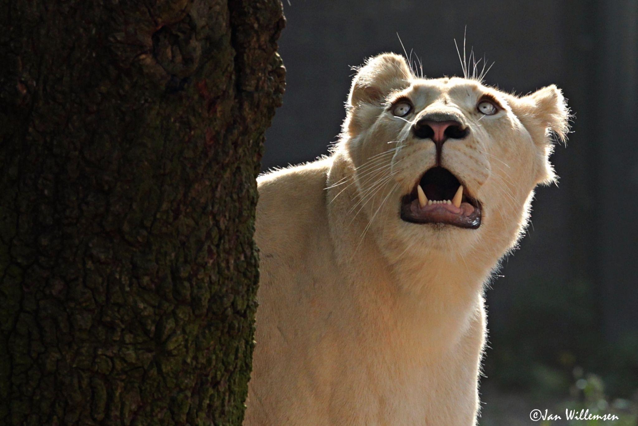 Afr. white Lion by Jan Willemsen Fotografie