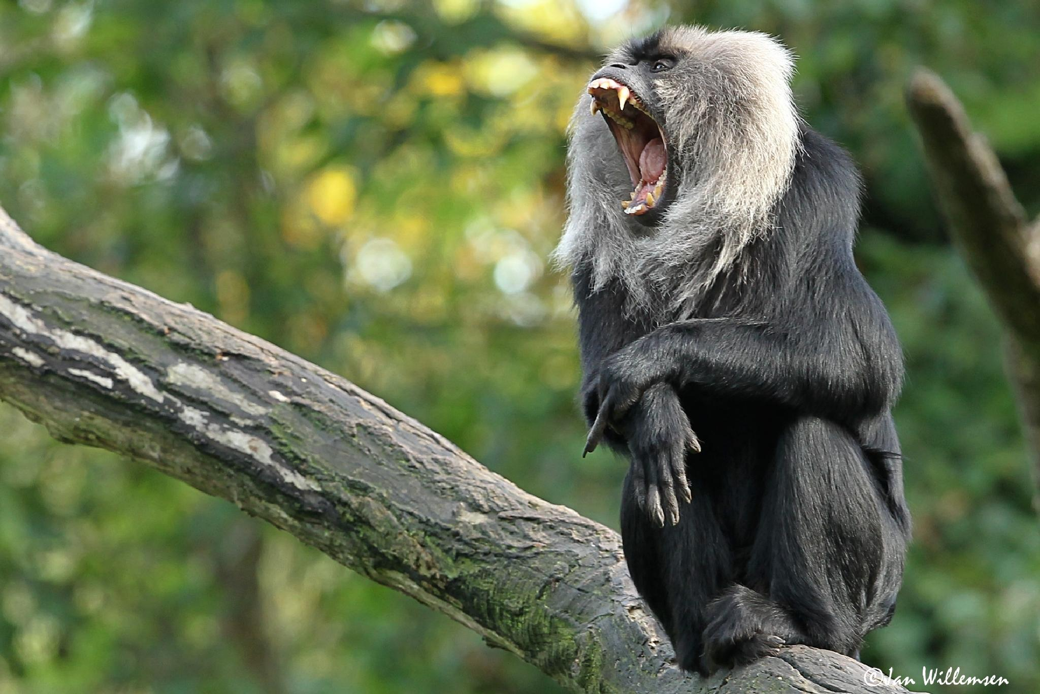 Lion-tailed Macaque by Jan Willemsen Fotografie