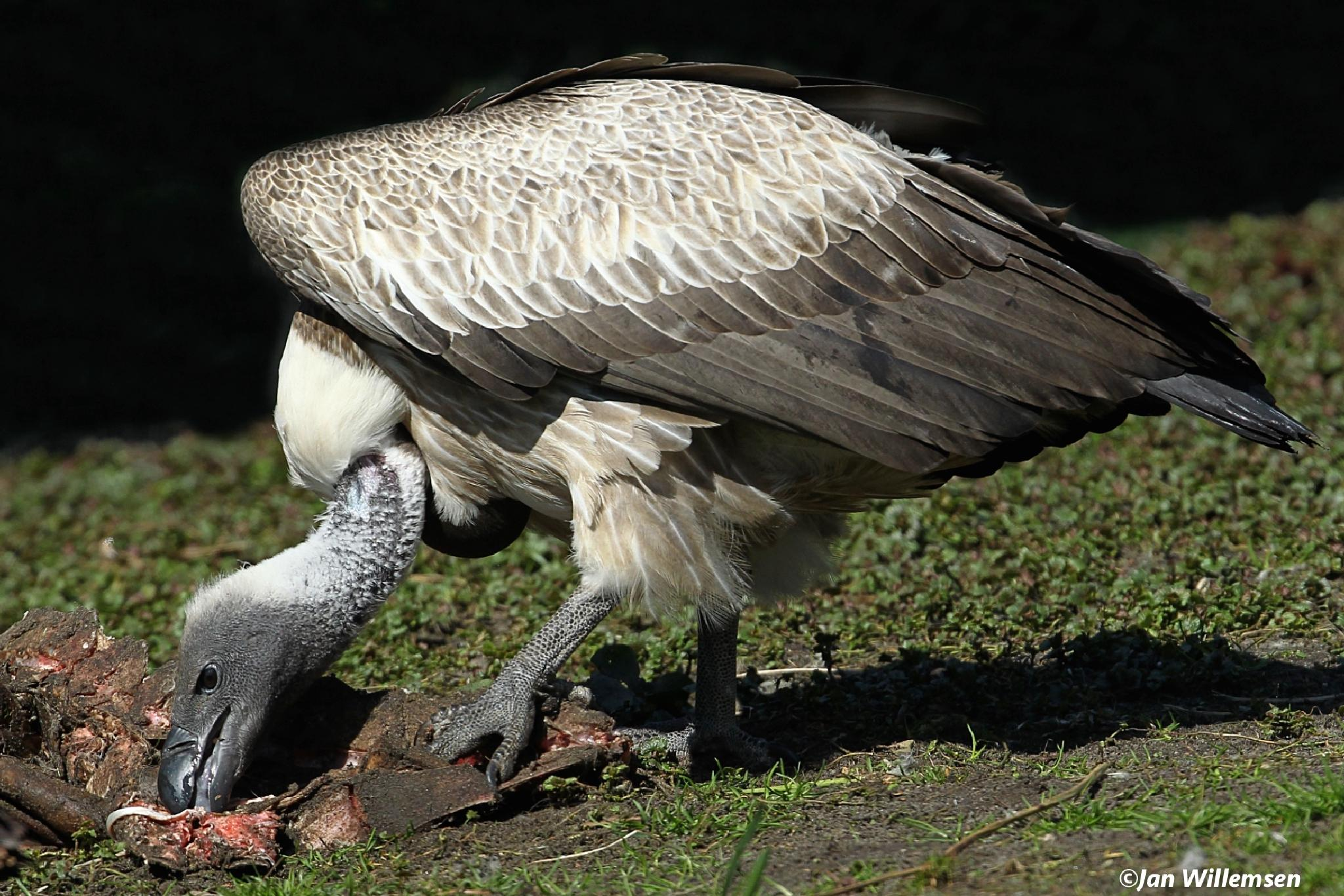 White-backed Vulture. by Jan Willemsen Fotografie