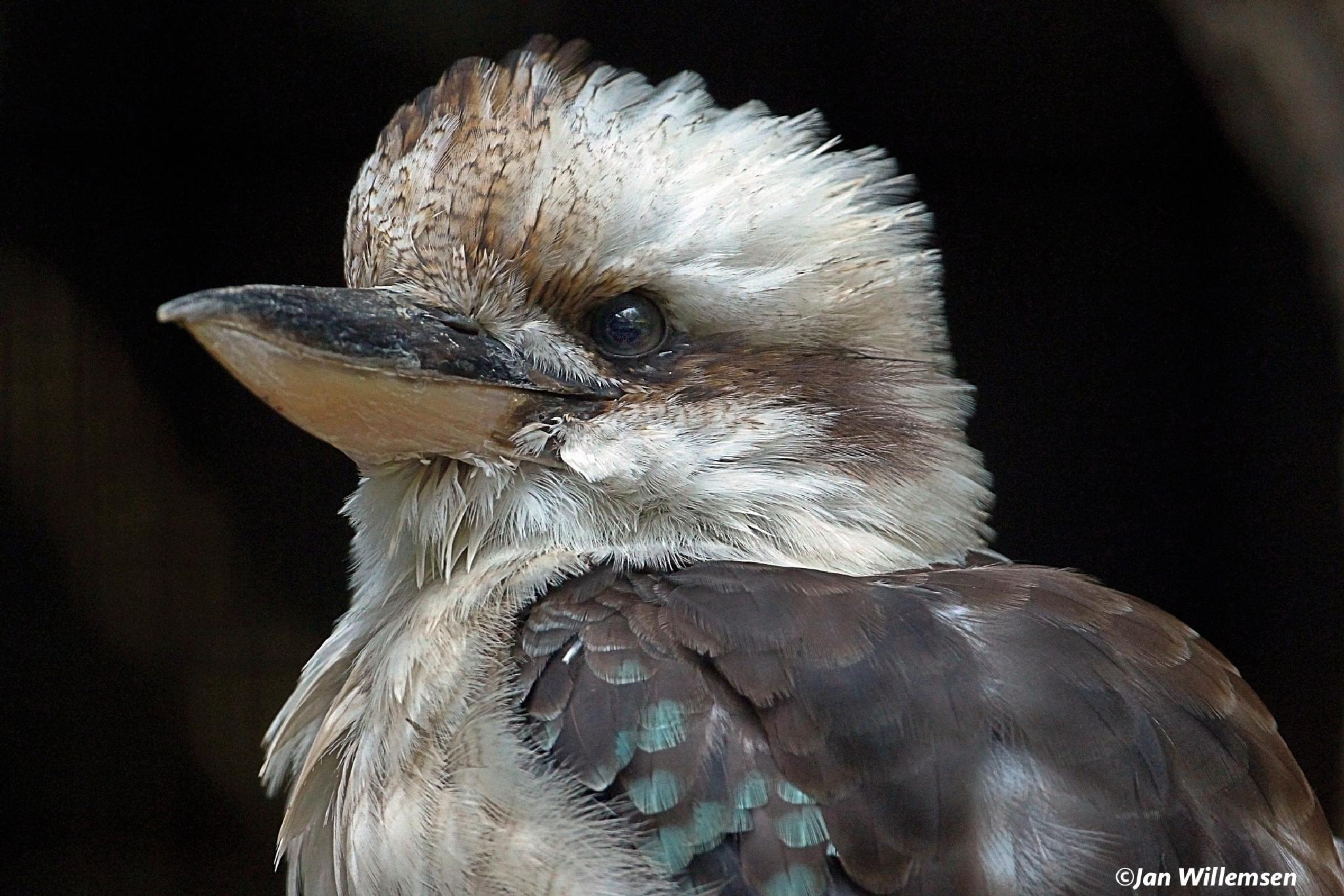 Kookaburra by Jan Willemsen Fotografie