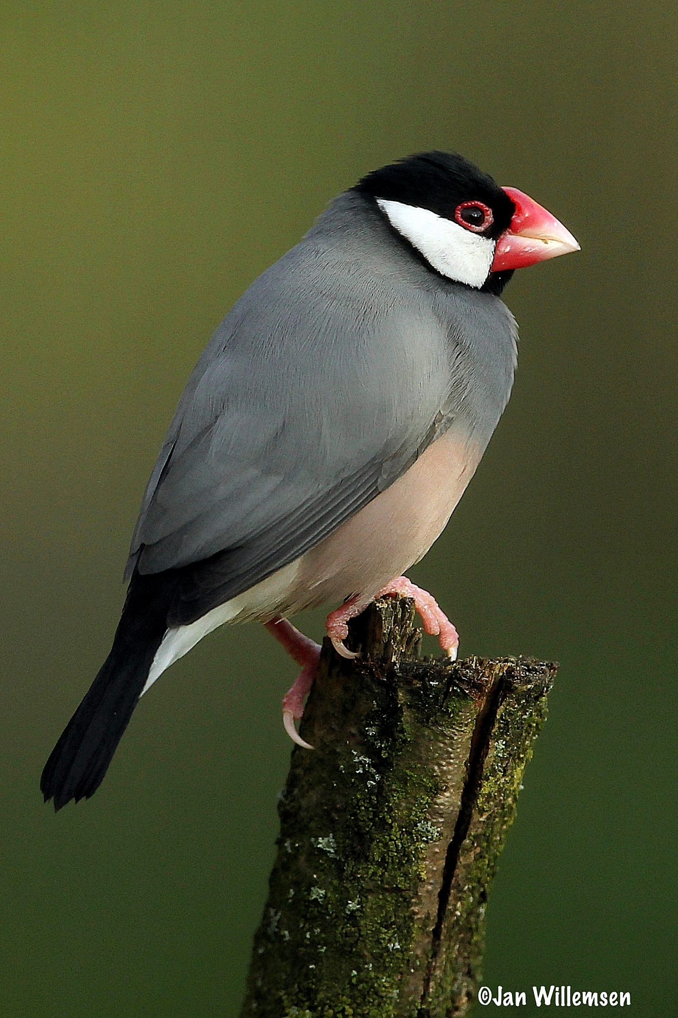 Java Sparrow by Jan Willemsen Fotografie