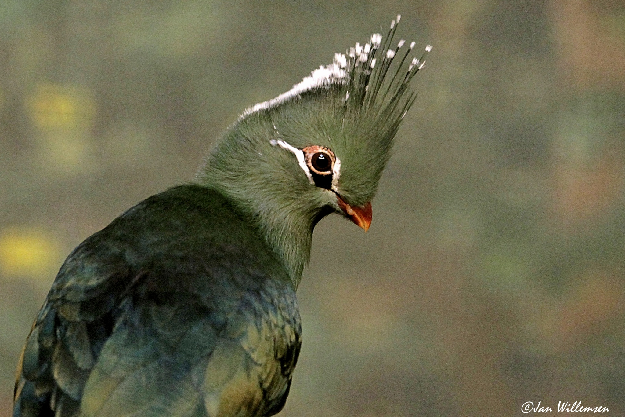 Livingstone's Turaco by Jan Willemsen Fotografie