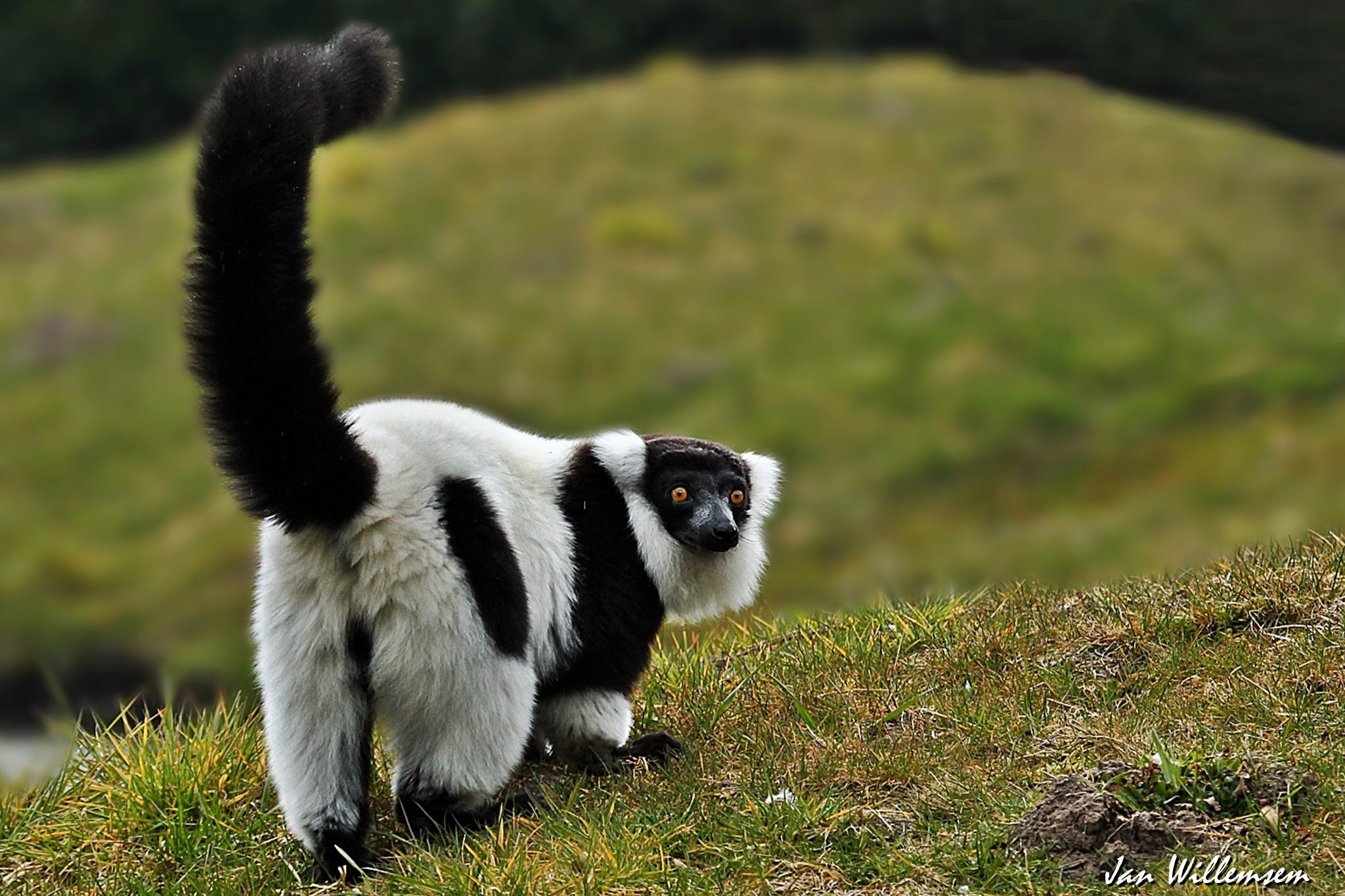 Black and White Ruffed Lemur by Jan Willemsen Fotografie