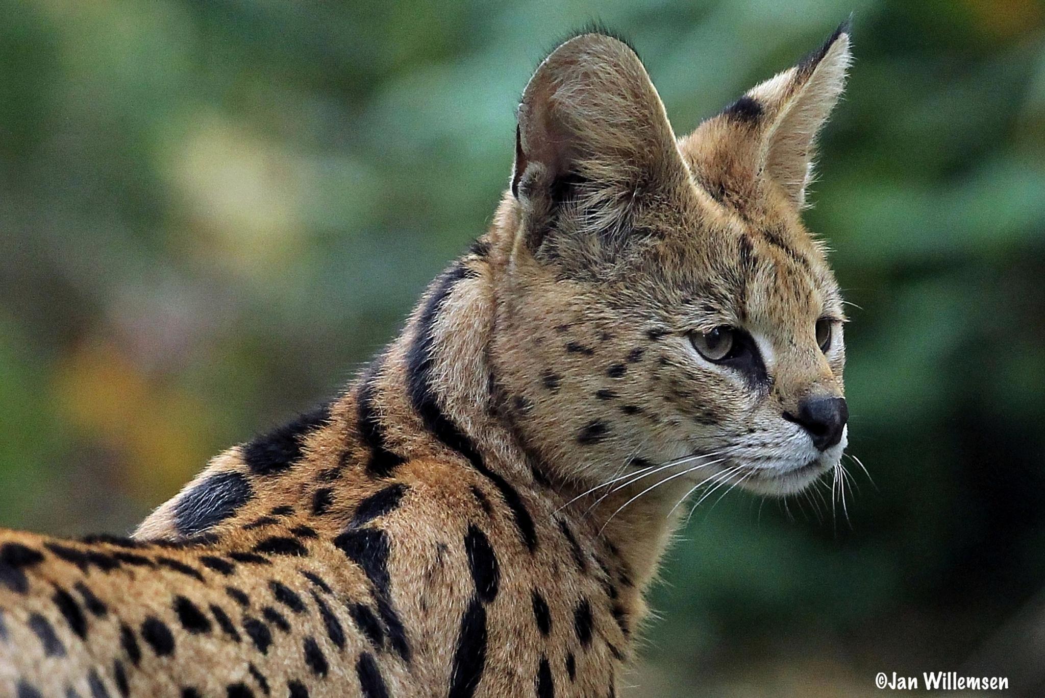 Serval by Jan Willemsen Fotografie