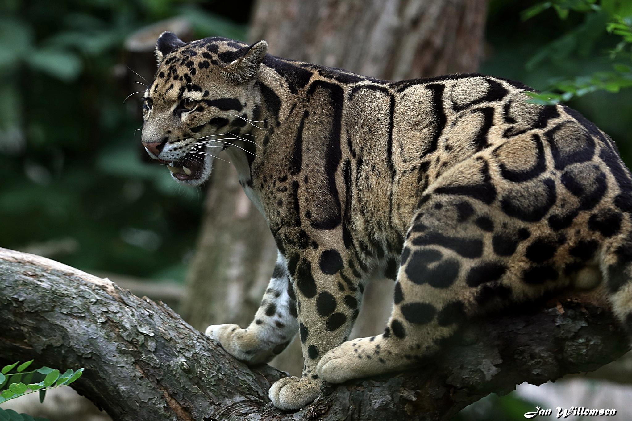 Clouded Leopard by Jan Willemsen Fotografie