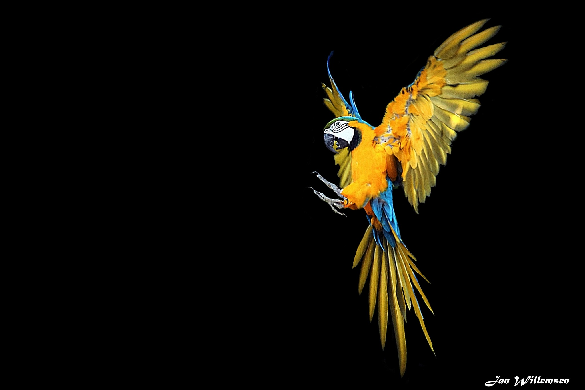 Blue and Yellow Macaw by Jan Willemsen Fotografie