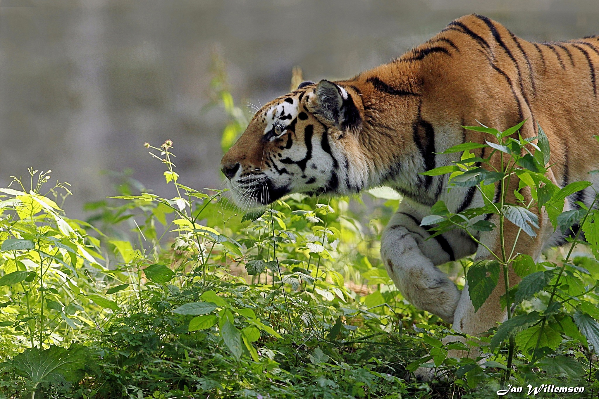 Amur Tiger by Jan Willemsen Fotografie