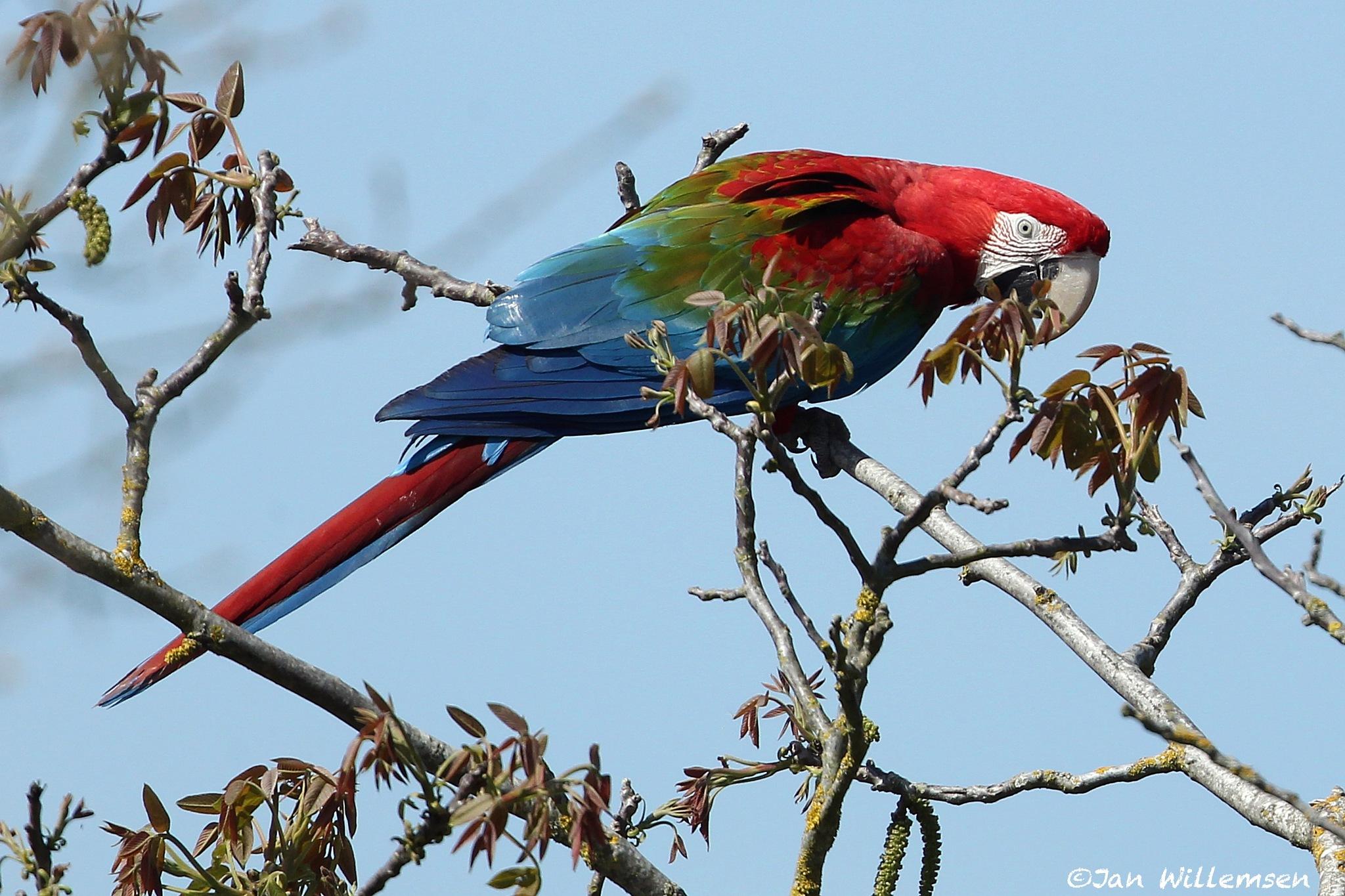 Green-winged Macaw by Jan Willemsen Fotografie