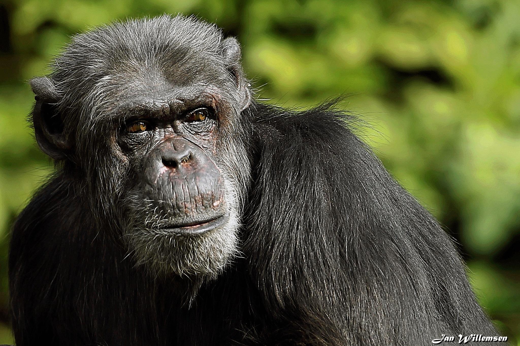 Chimpanzee by Jan Willemsen Fotografie