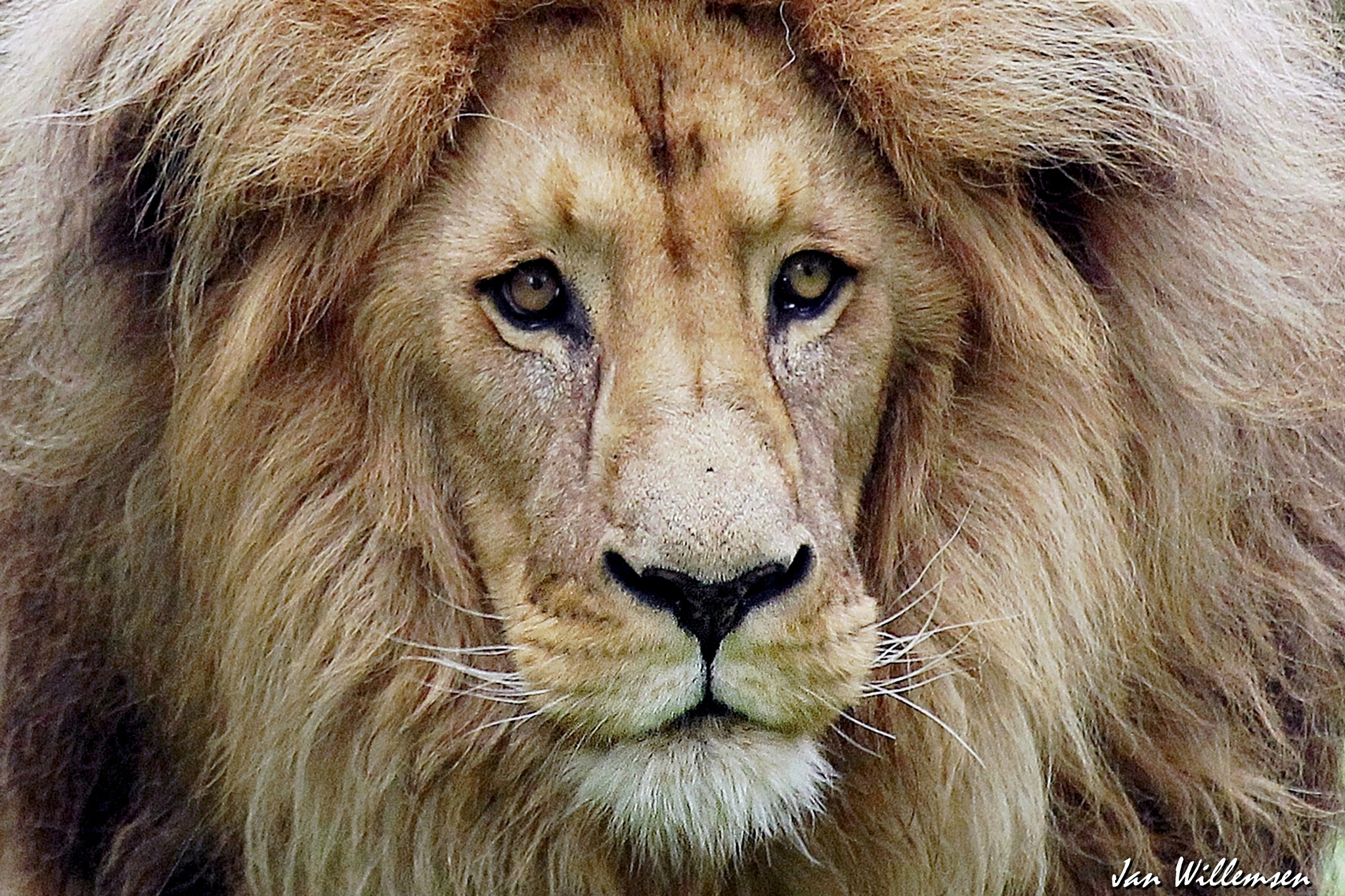 Southwest African Lion by Jan Willemsen Fotografie