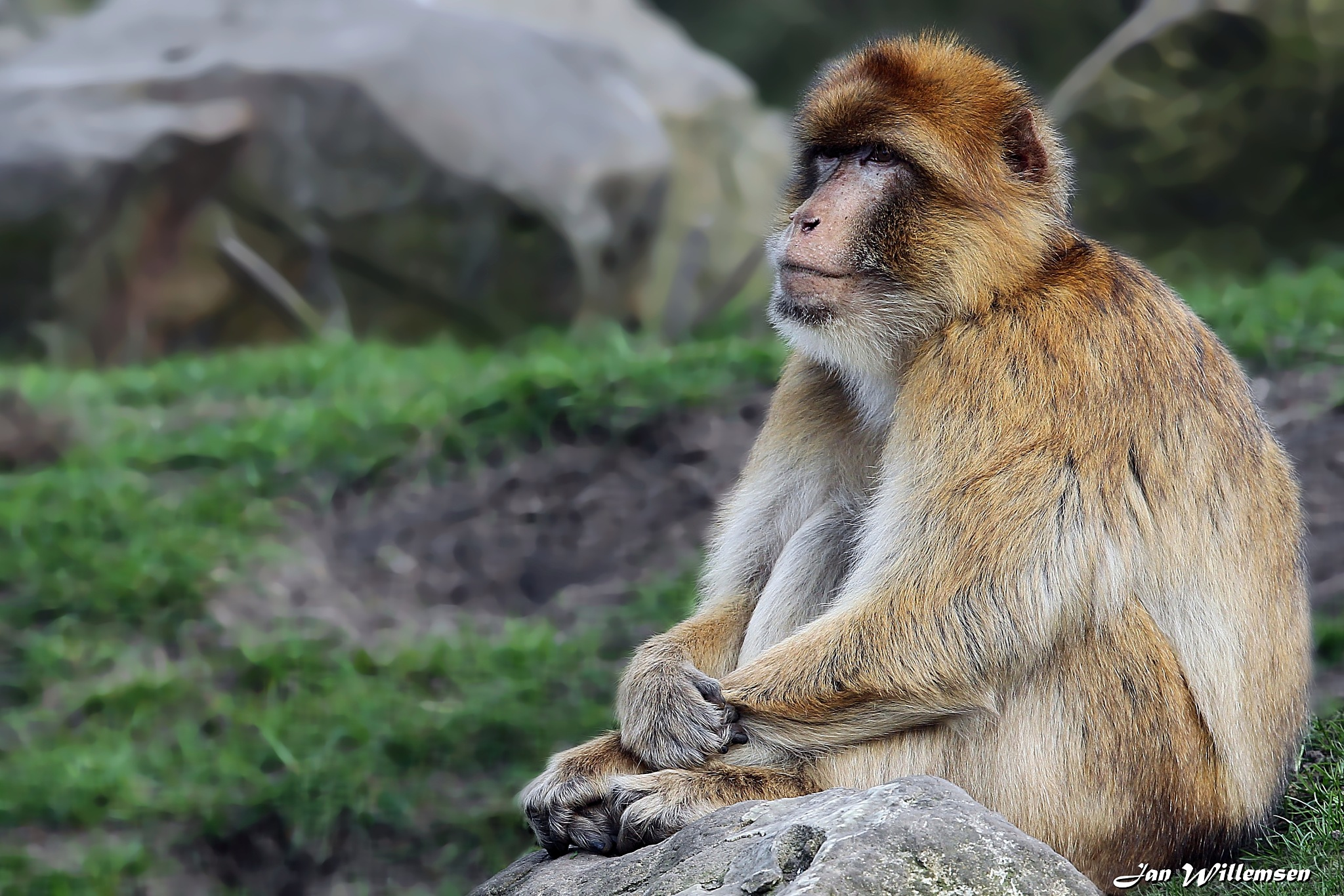 Barbary Macaque by Jan Willemsen Fotografie