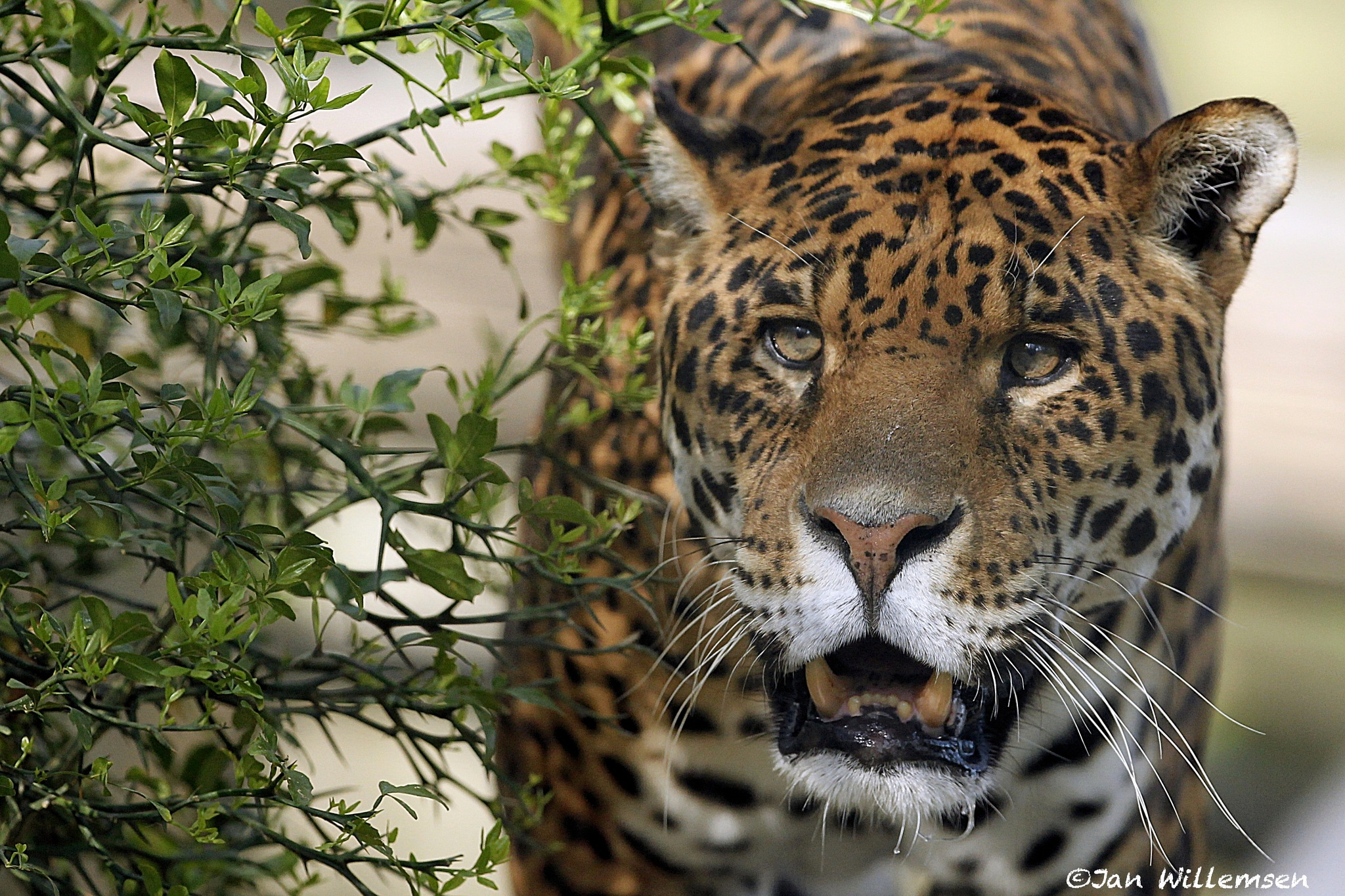 Jaguar by Jan Willemsen Fotografie