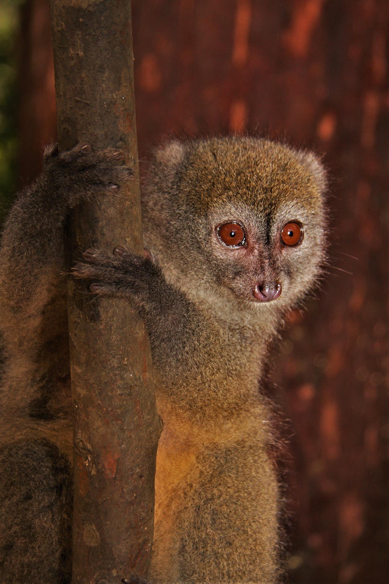 Bamboo  Lemur  by dittums12