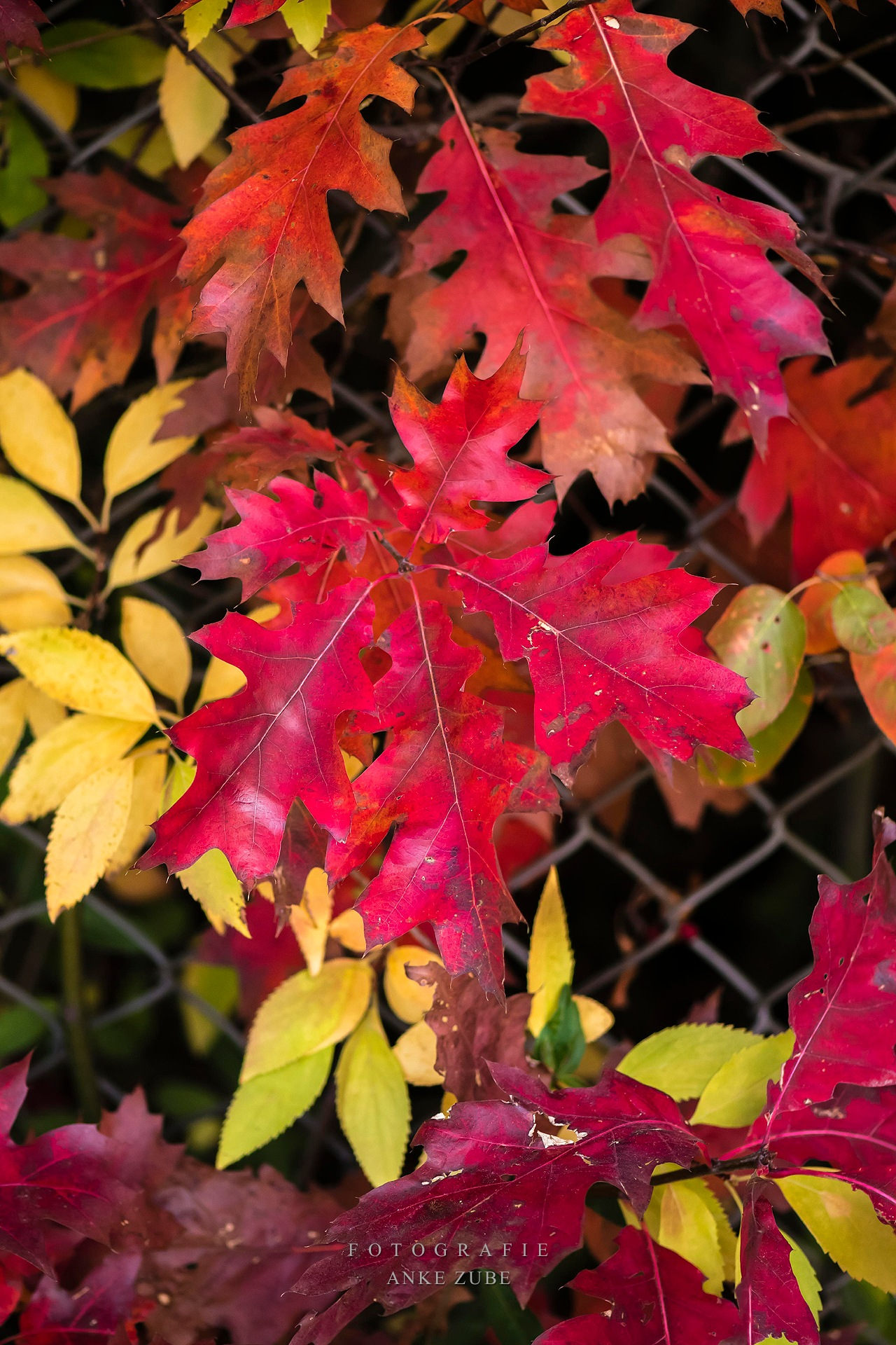 red oak leaves by Anke Zube