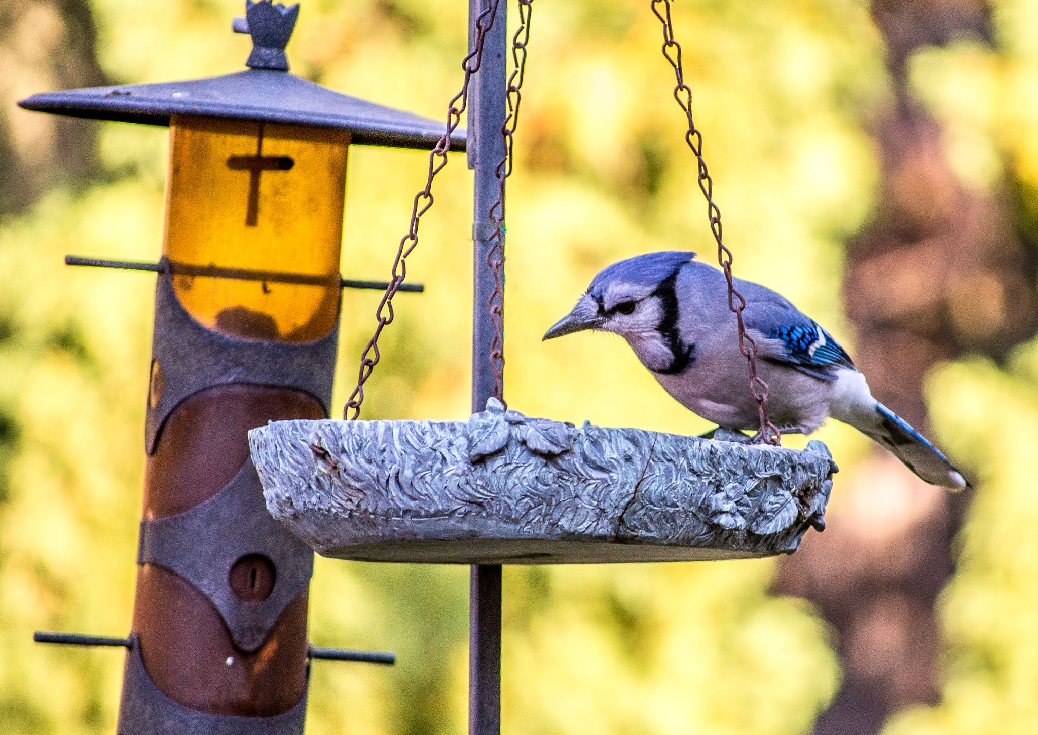 Blue Jay by ladyco888