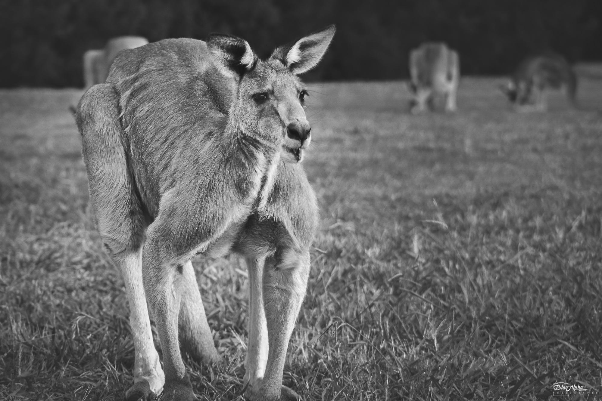 The Australian by BLAQALPHA Photography
