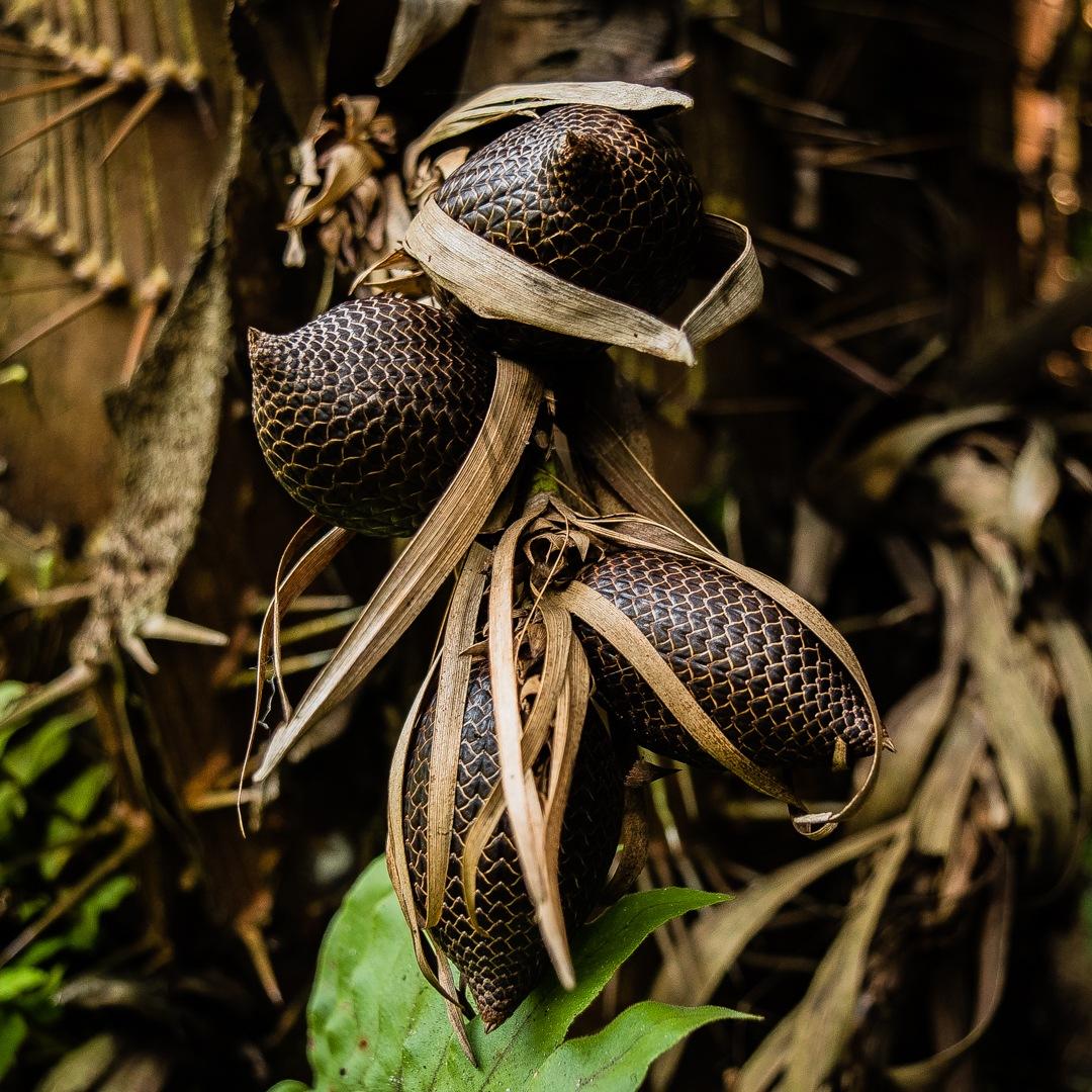 Salak Kalimantan by Regina Brigitta