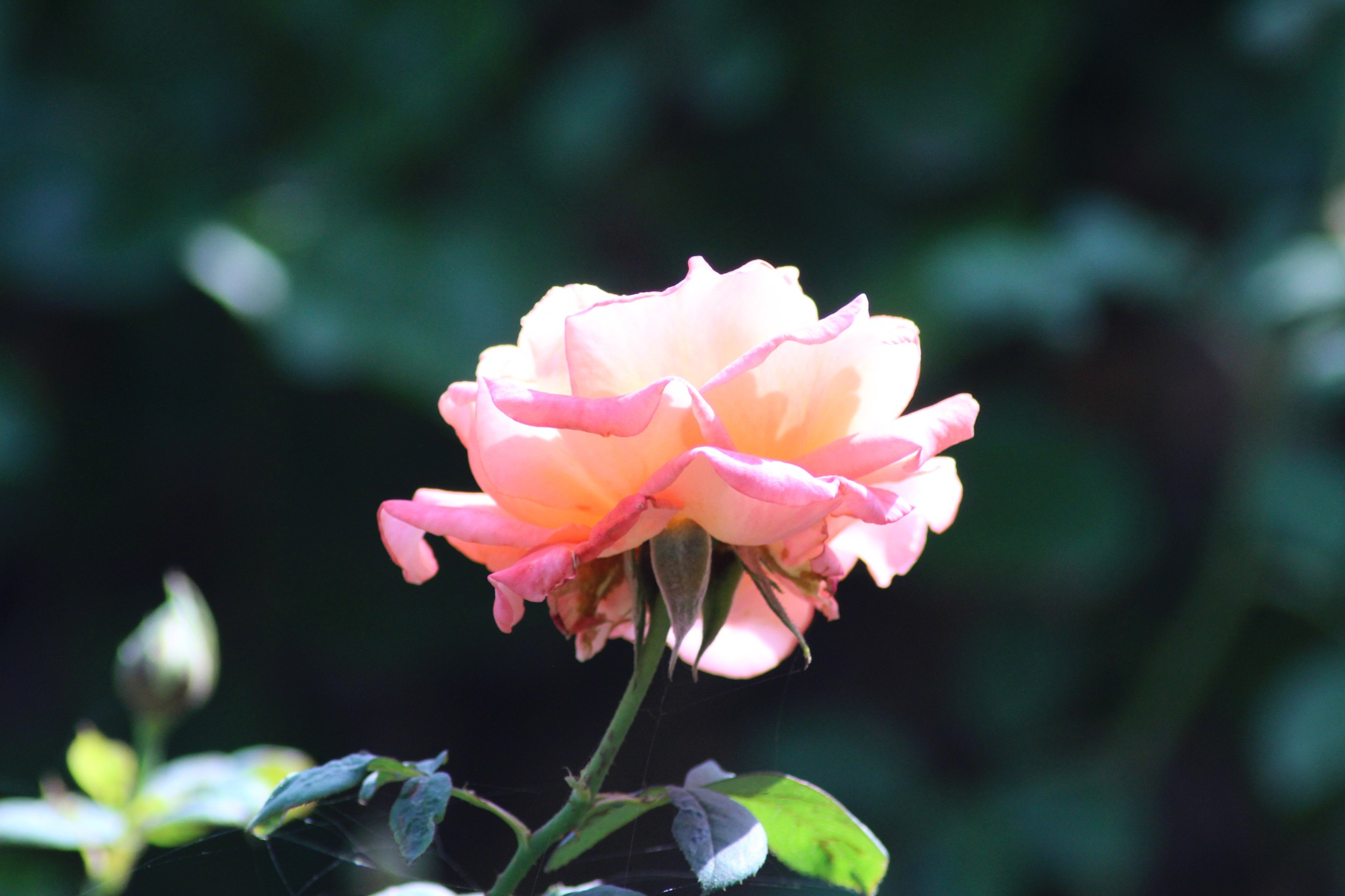 Rose by Zooming__