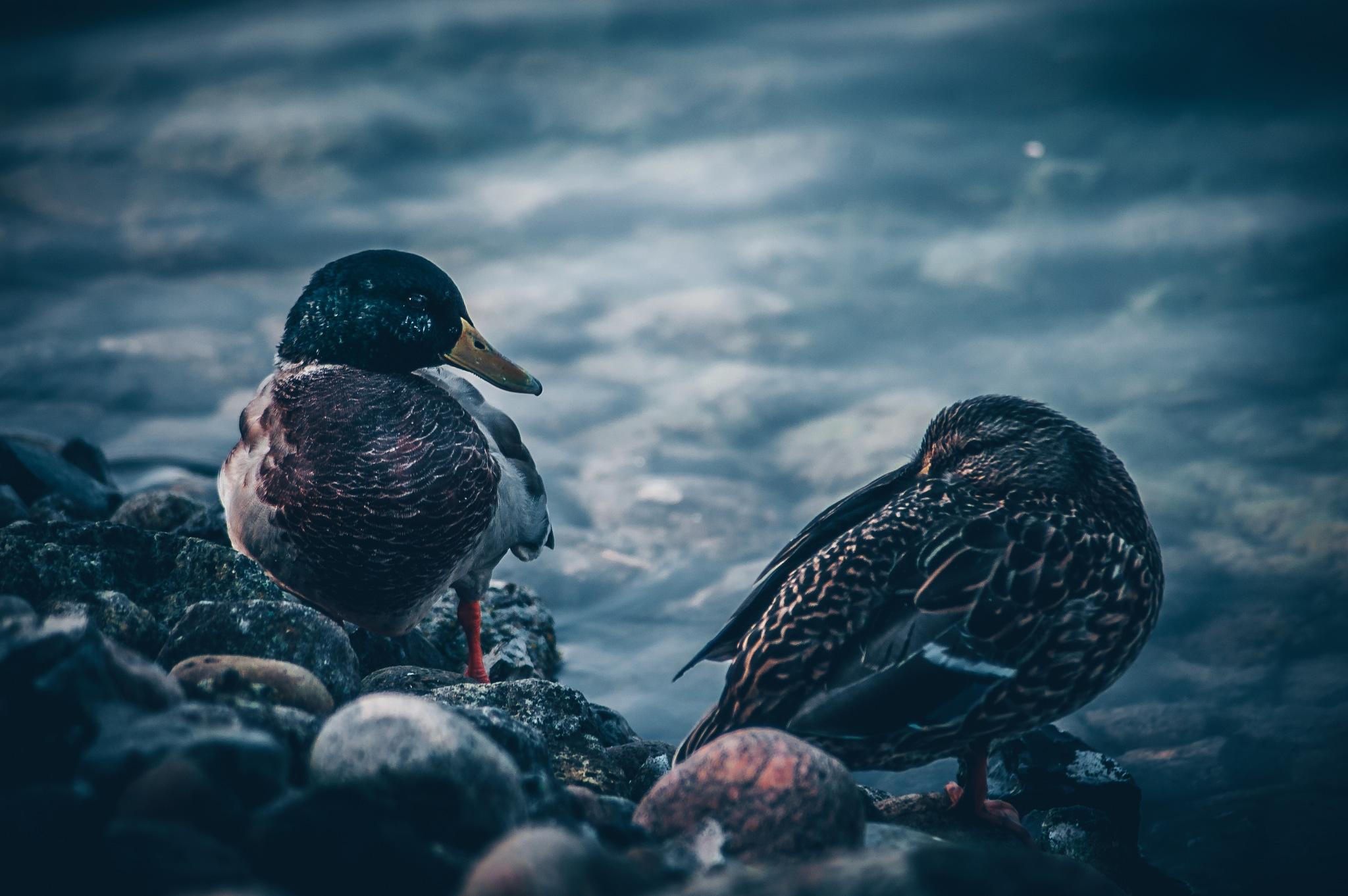 Ducks in cobalt by antonia kofod