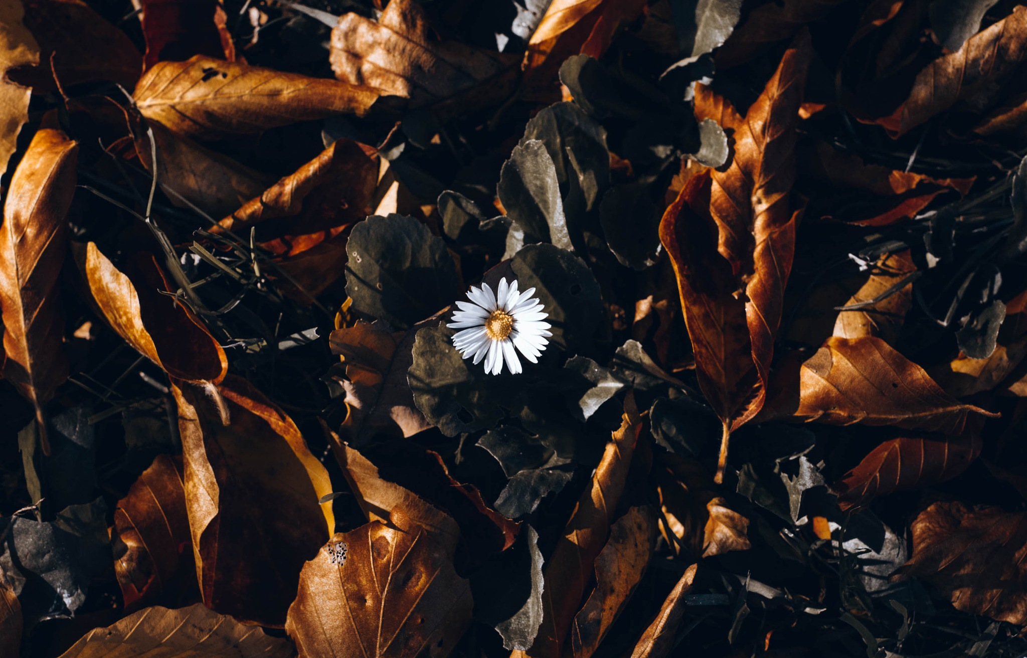 Daisy in October by antonia kofod
