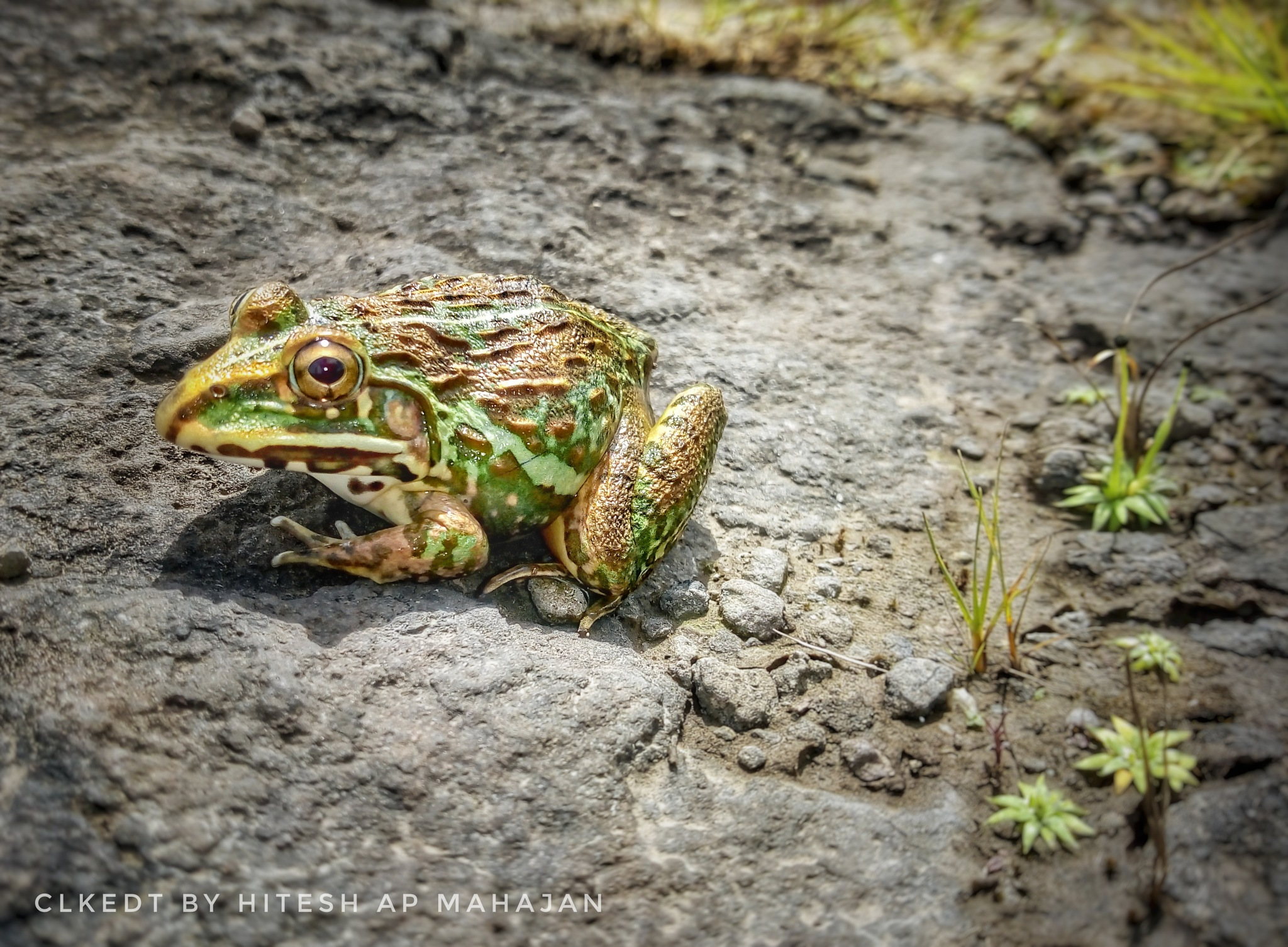 coloured frog by Hitesh AP Mahajan
