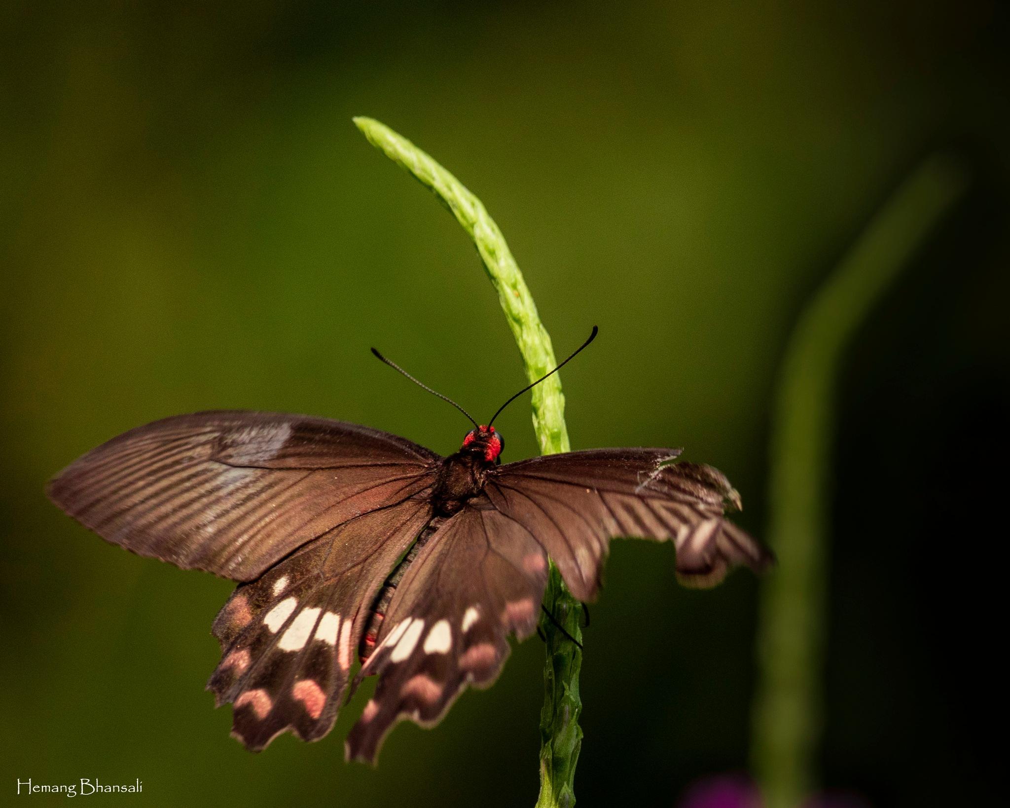 Common Rose by Hemang Bhansali