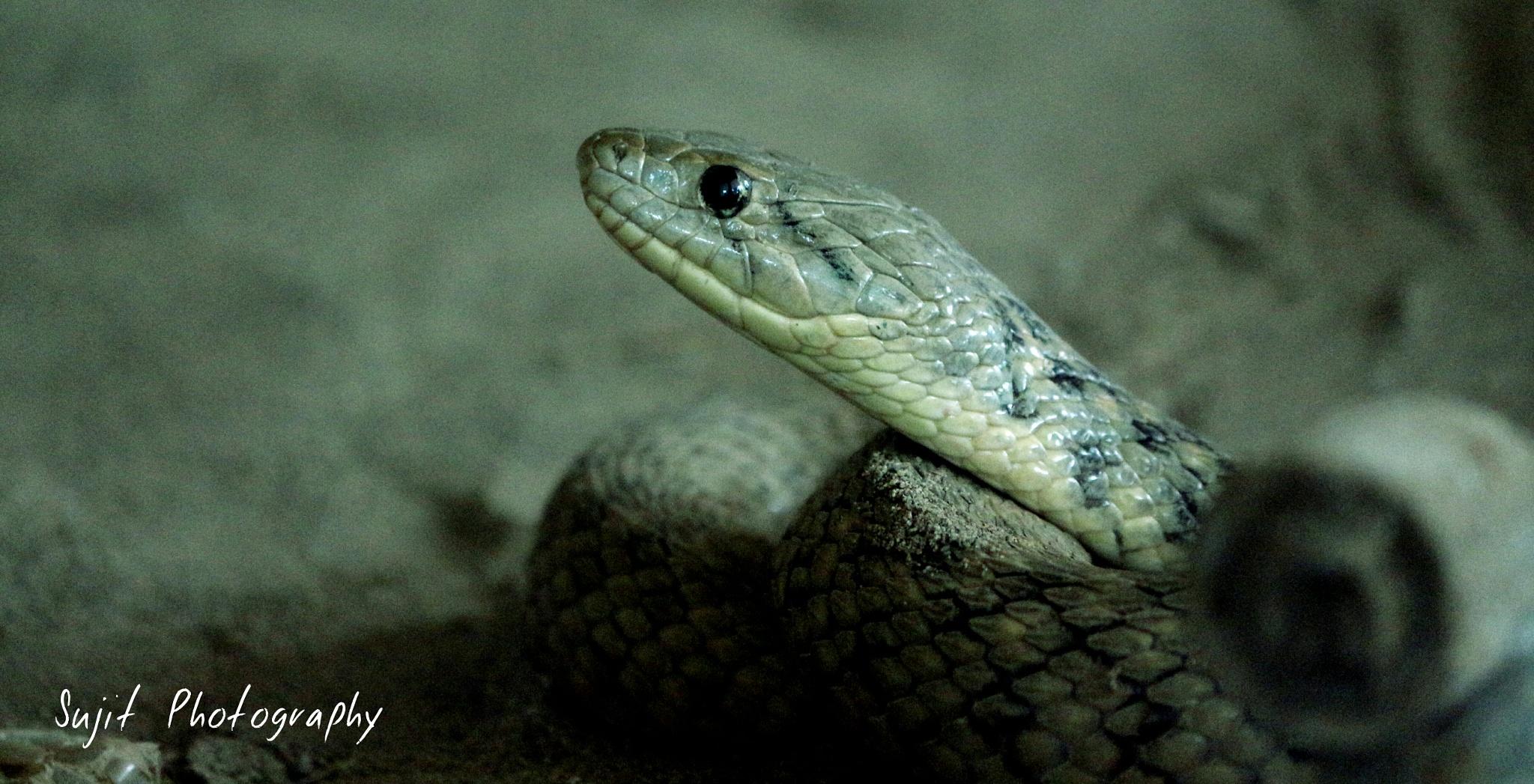 Rat Snake by  Sujit Photography