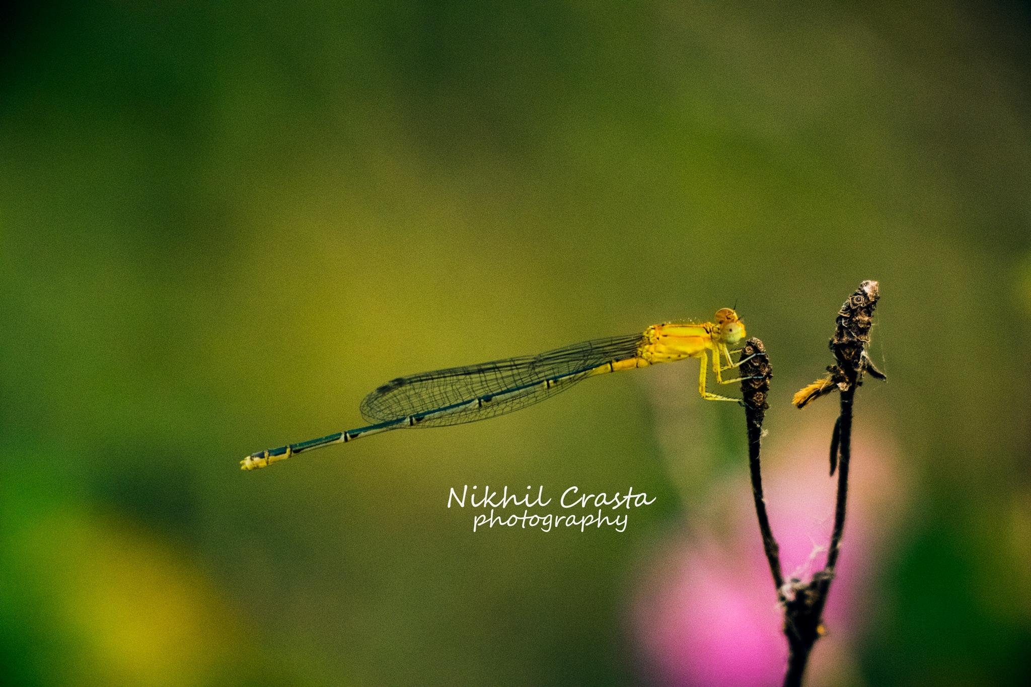 a really really really small dragon fly!  by Nikhil Crasta Photography