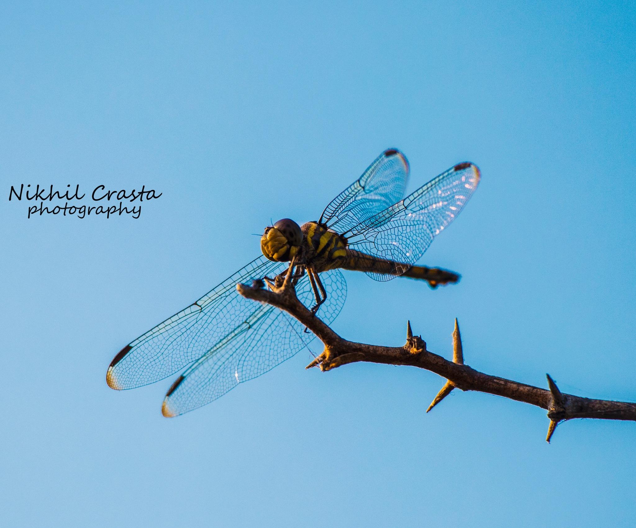 Dragonfly love ❤ by Nikhil Crasta Photography