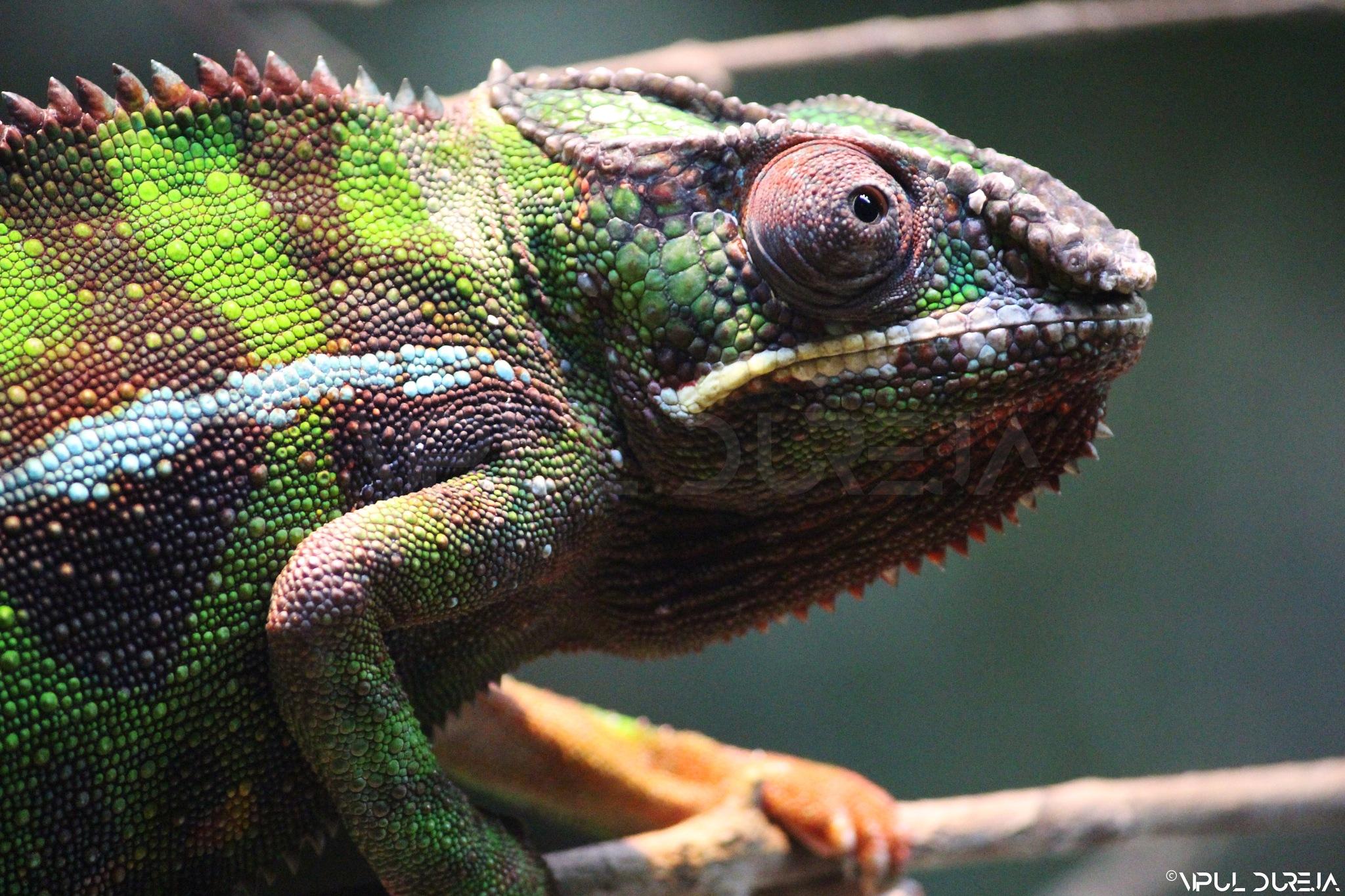Scary Chameleon by Vipul Dureja