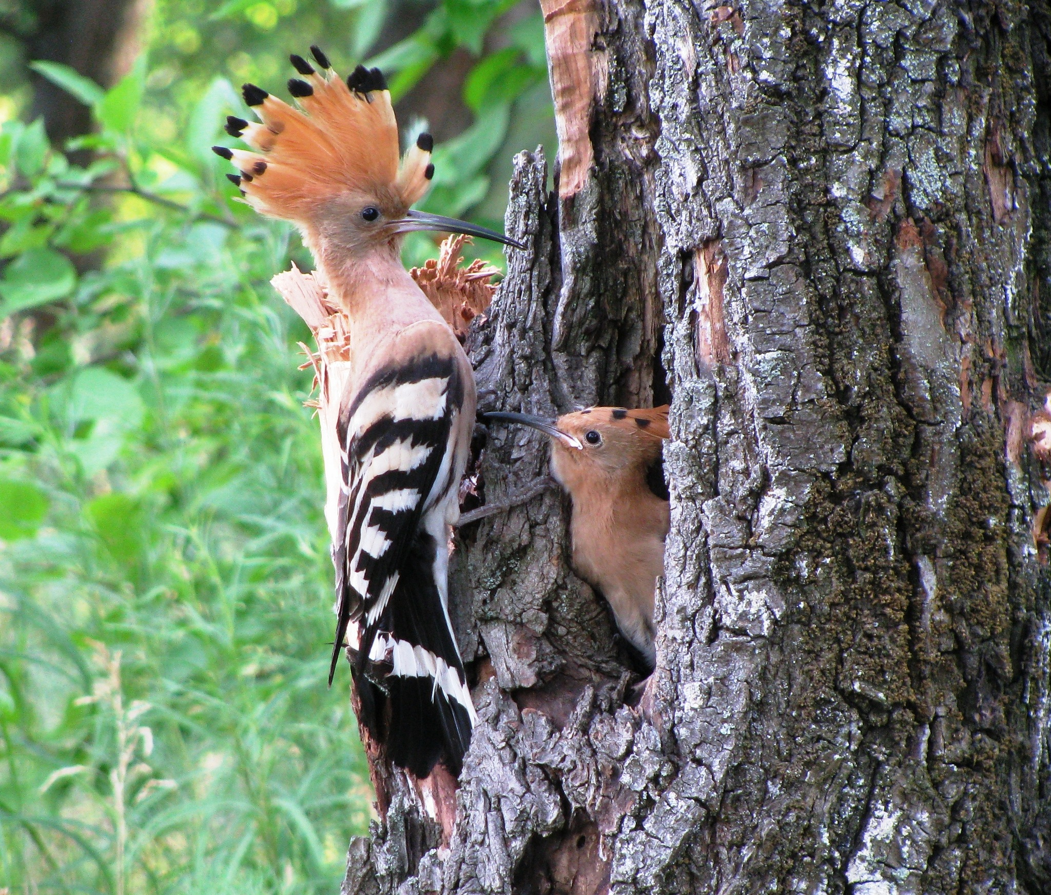 Hoopoe's nest by Eleonora Sindeyeva